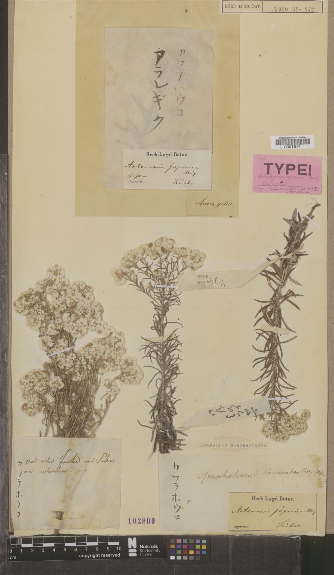 L  0001814   Anaphalis margaritacea (L.) Benth. & Hook.f.