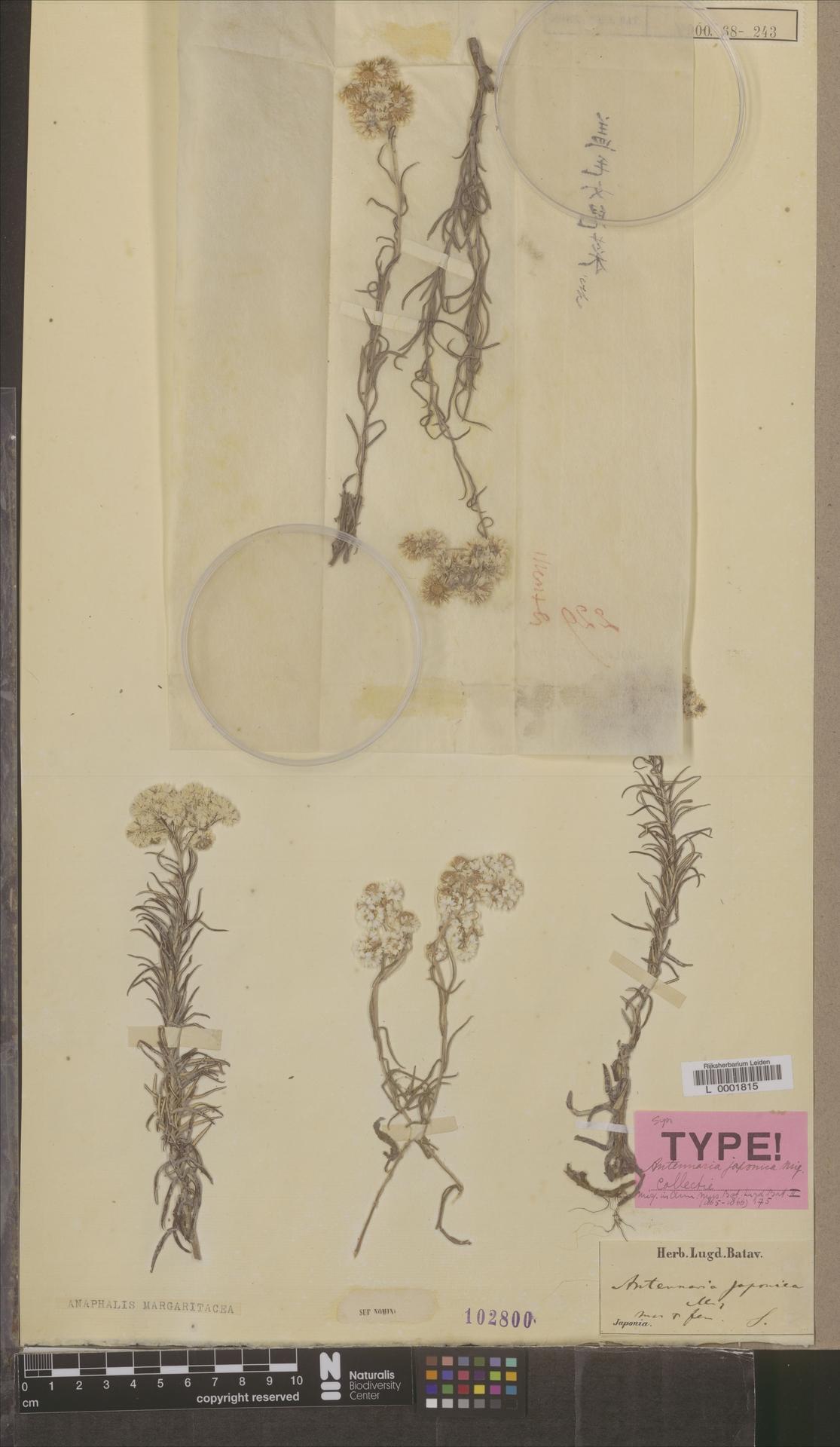 L  0001815 | Anaphalis margaritacea (L.) Benth. & Hook.f.