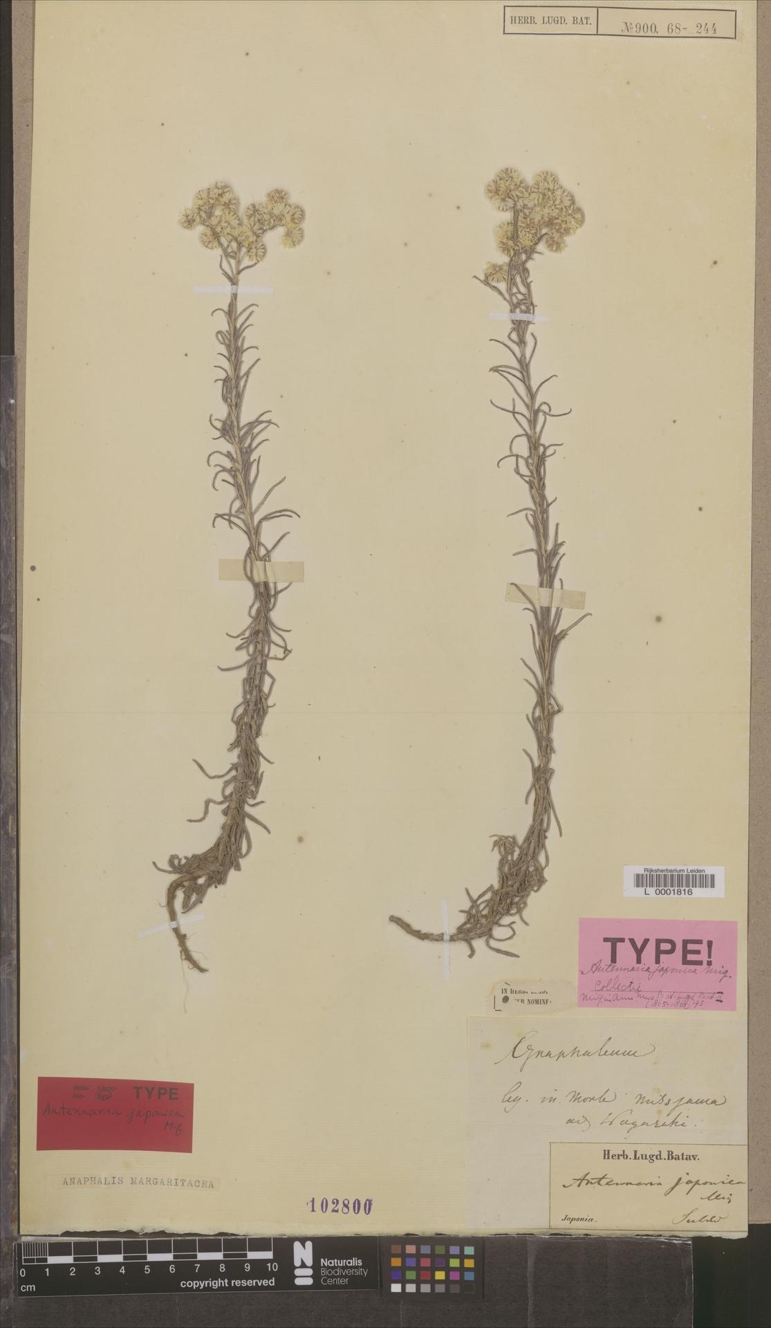 L  0001816 | Anaphalis margaritacea (L.) Benth. & Hook.f.