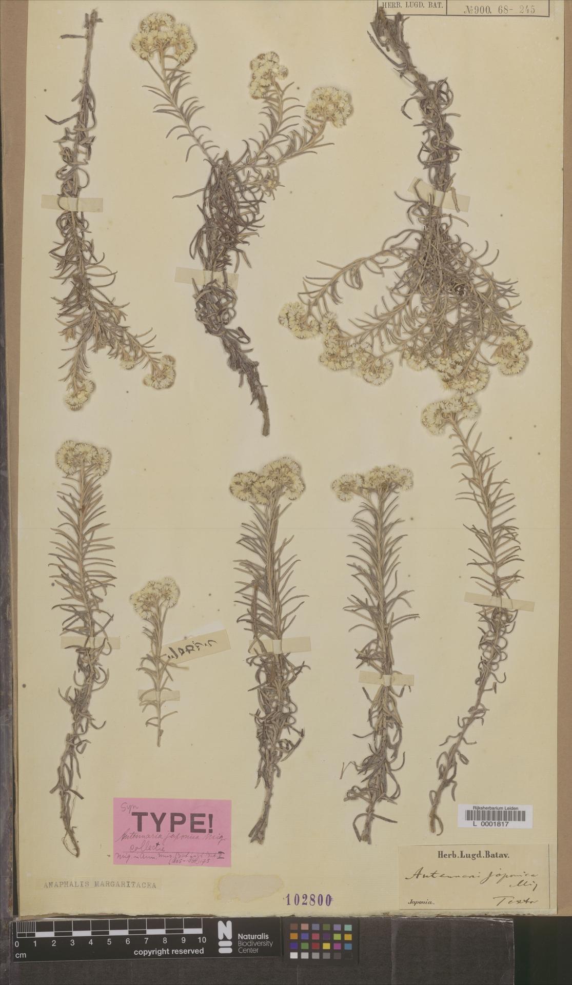 L  0001817 | Anaphalis margaritacea (L.) Benth. & Hook.f.