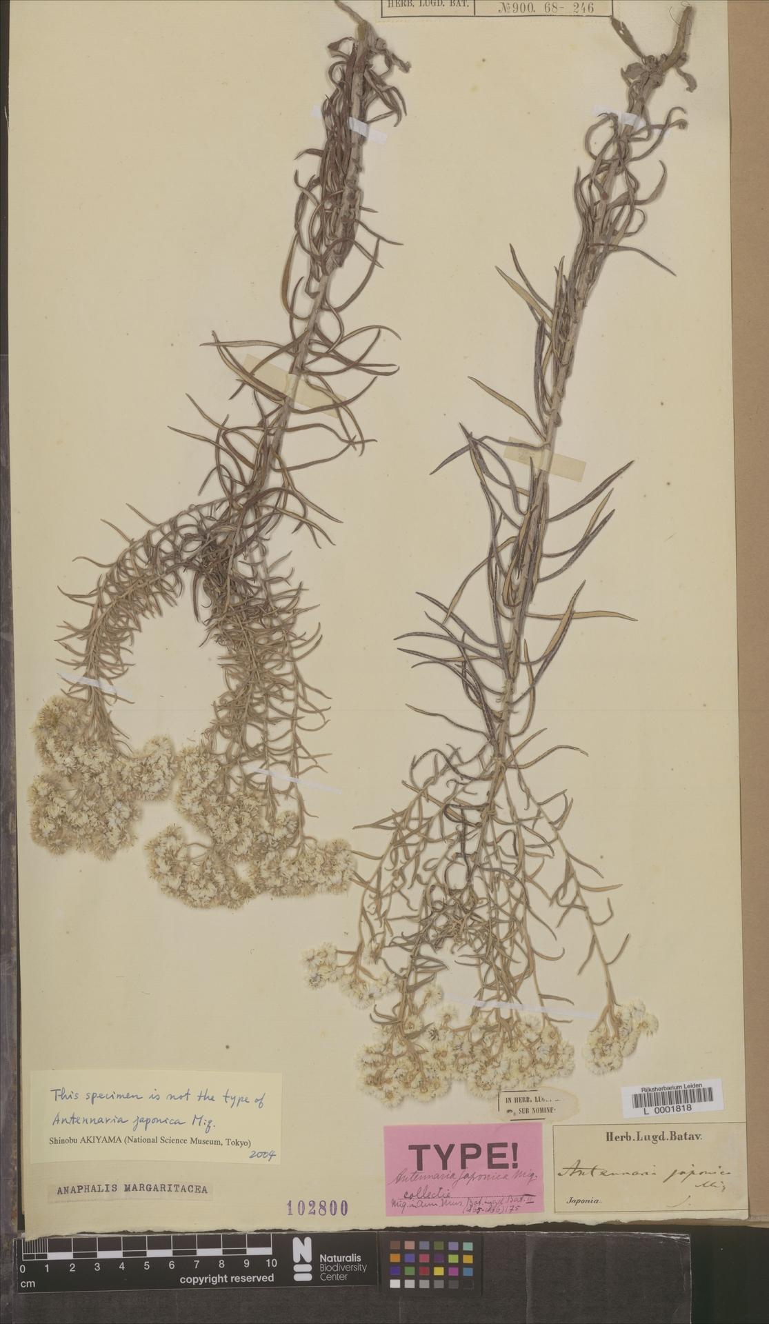 L  0001818 | Anaphalis margaritacea (L.) Benth. & Hook.f.