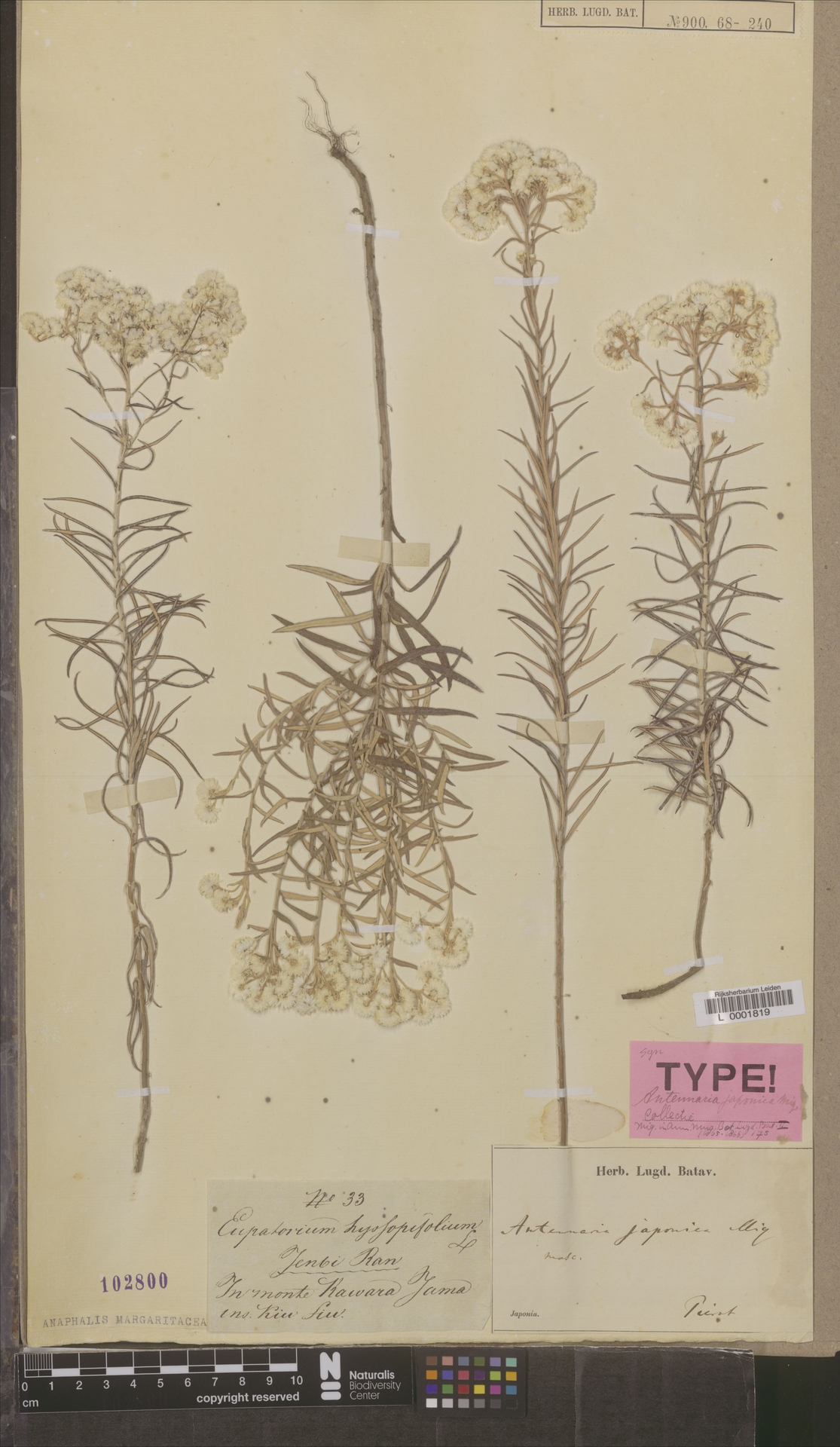 L  0001819 | Anaphalis margaritacea (L.) Benth. & Hook.f.
