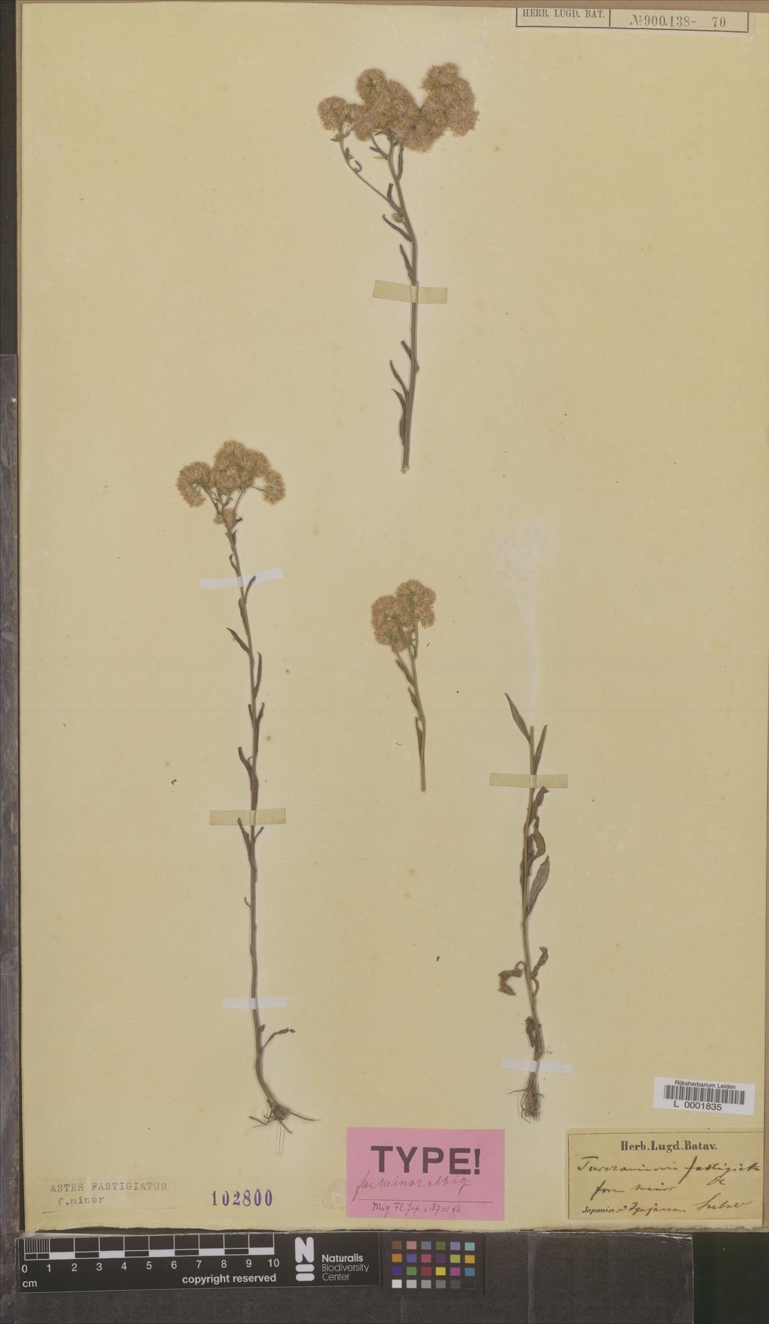 L  0001835 | Aster fastigiatus f. minor Miq.