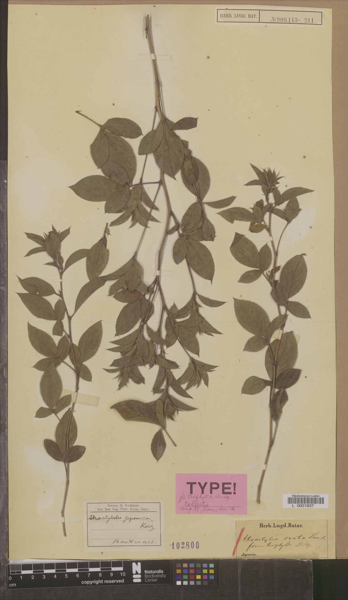 L  0001837 | Atractylis ovata f. tryphylla Miq.