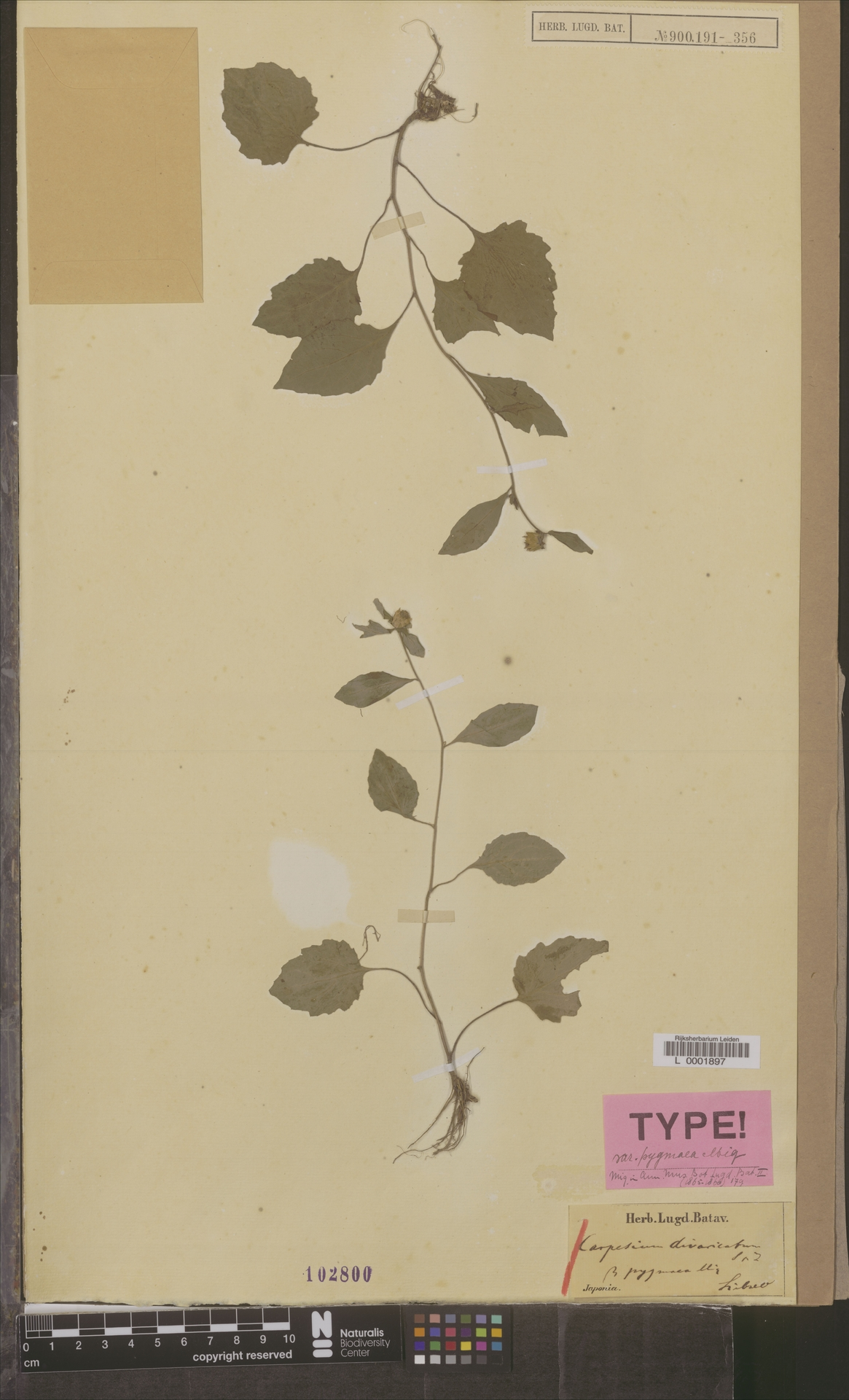 L  0001897 | Carpesium divaricatum var. pygmaea Miq.
