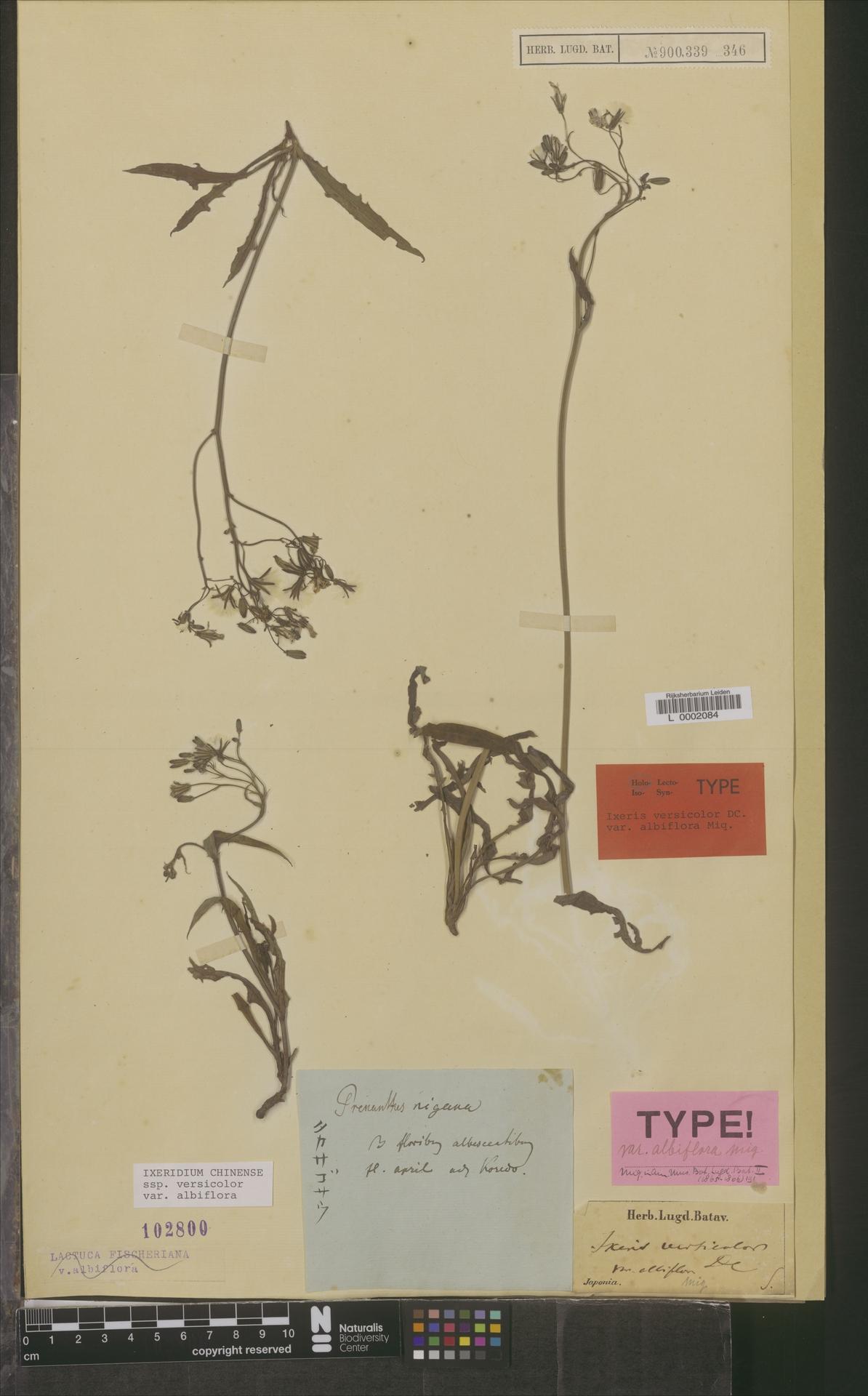 L  0002084   Ixeridium chinense var. albiflora