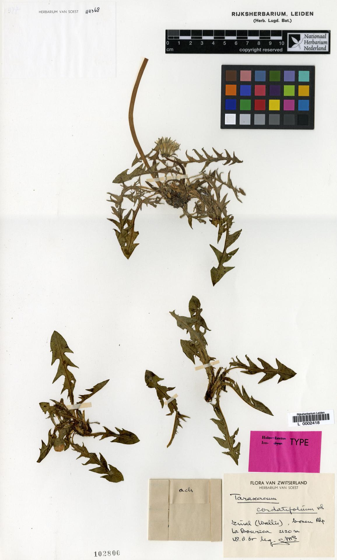 L  0002418 | Taraxacum cordatifolium Soest