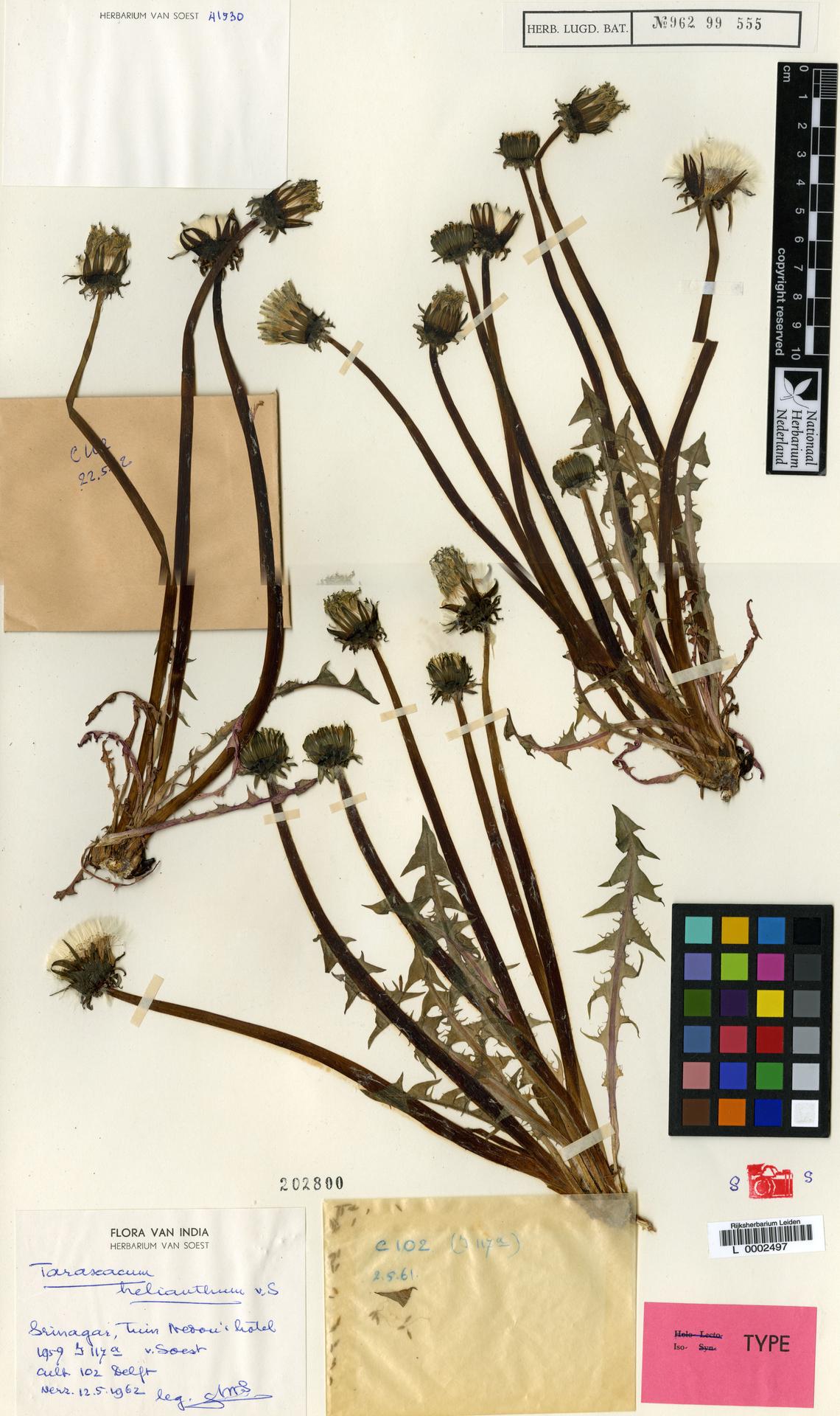 L  0002497 | Taraxacum helianthum Soest