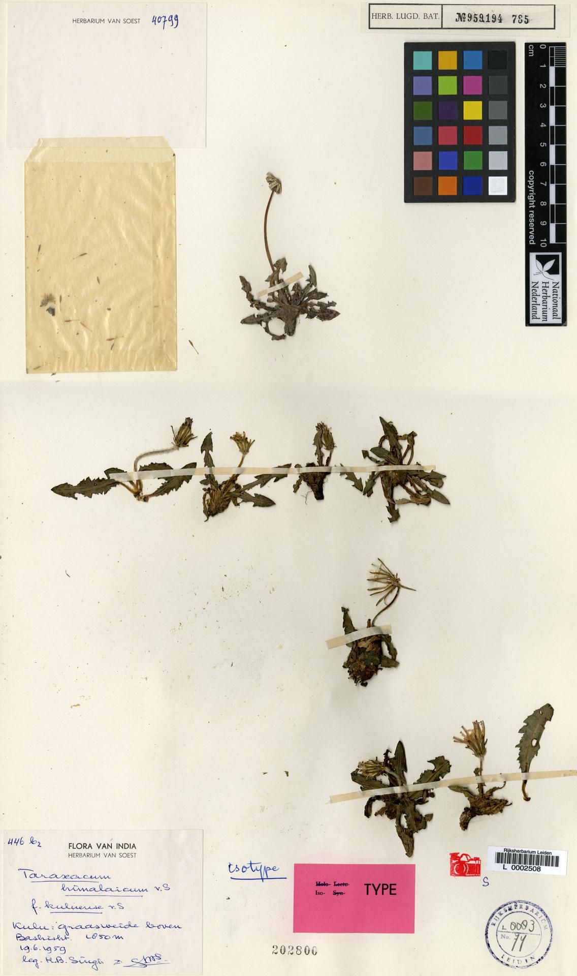 L  0002508 | Taraxacum himalaicum f. kuluense Soest