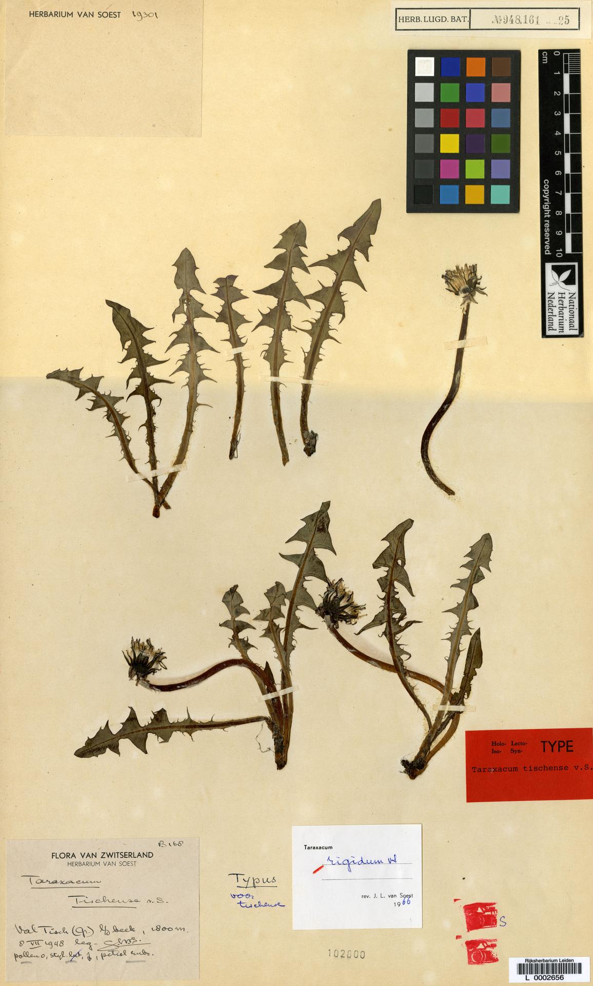L  0002656   Taraxacum rigidum Soest