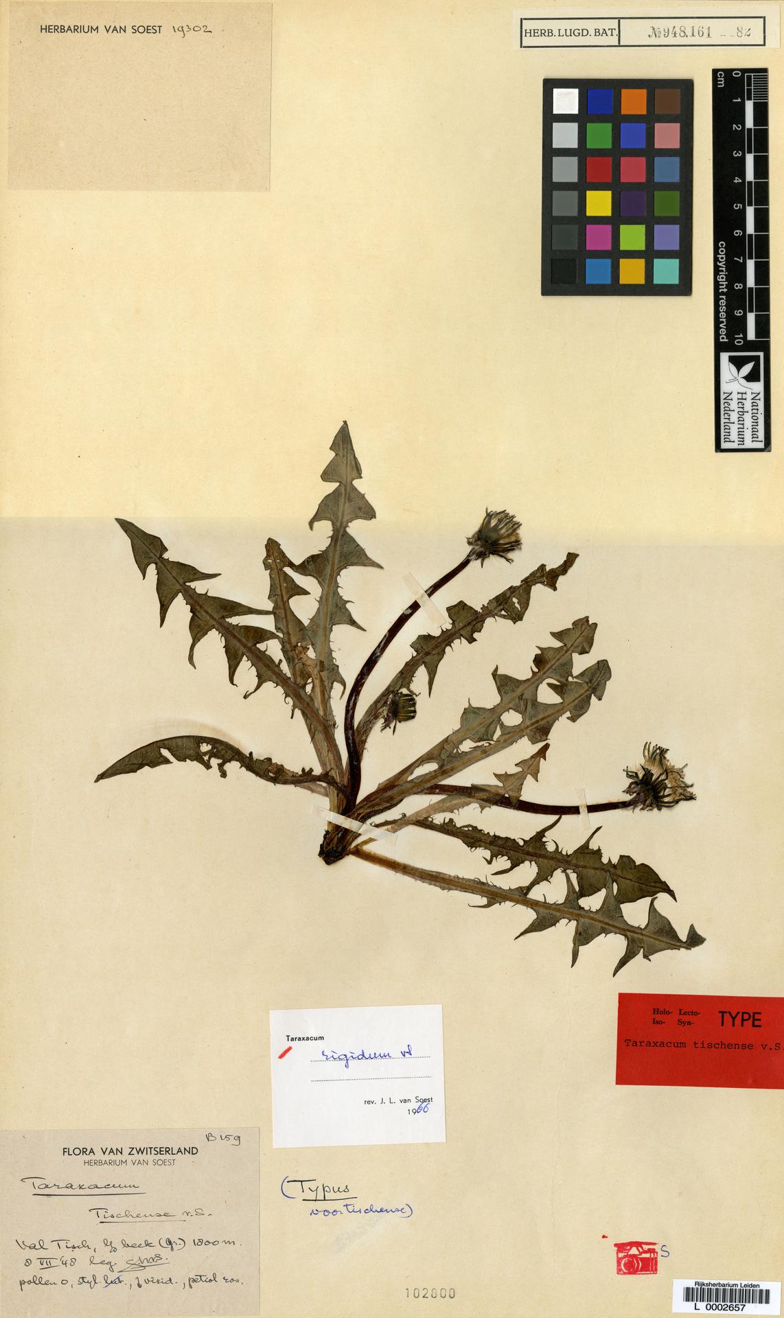 L  0002657 | Taraxacum rigidum Soest