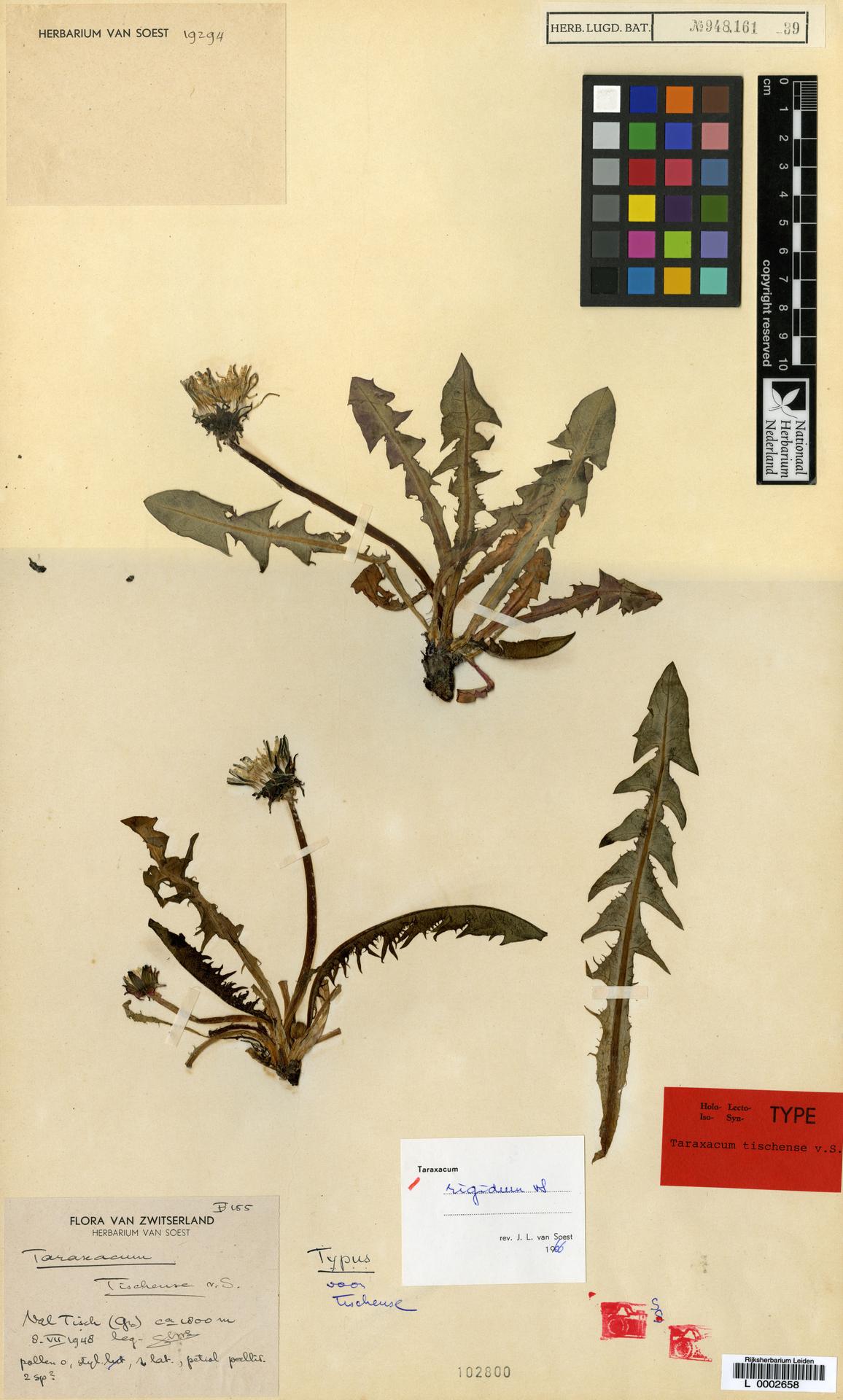 L  0002658   Taraxacum rigidum Soest