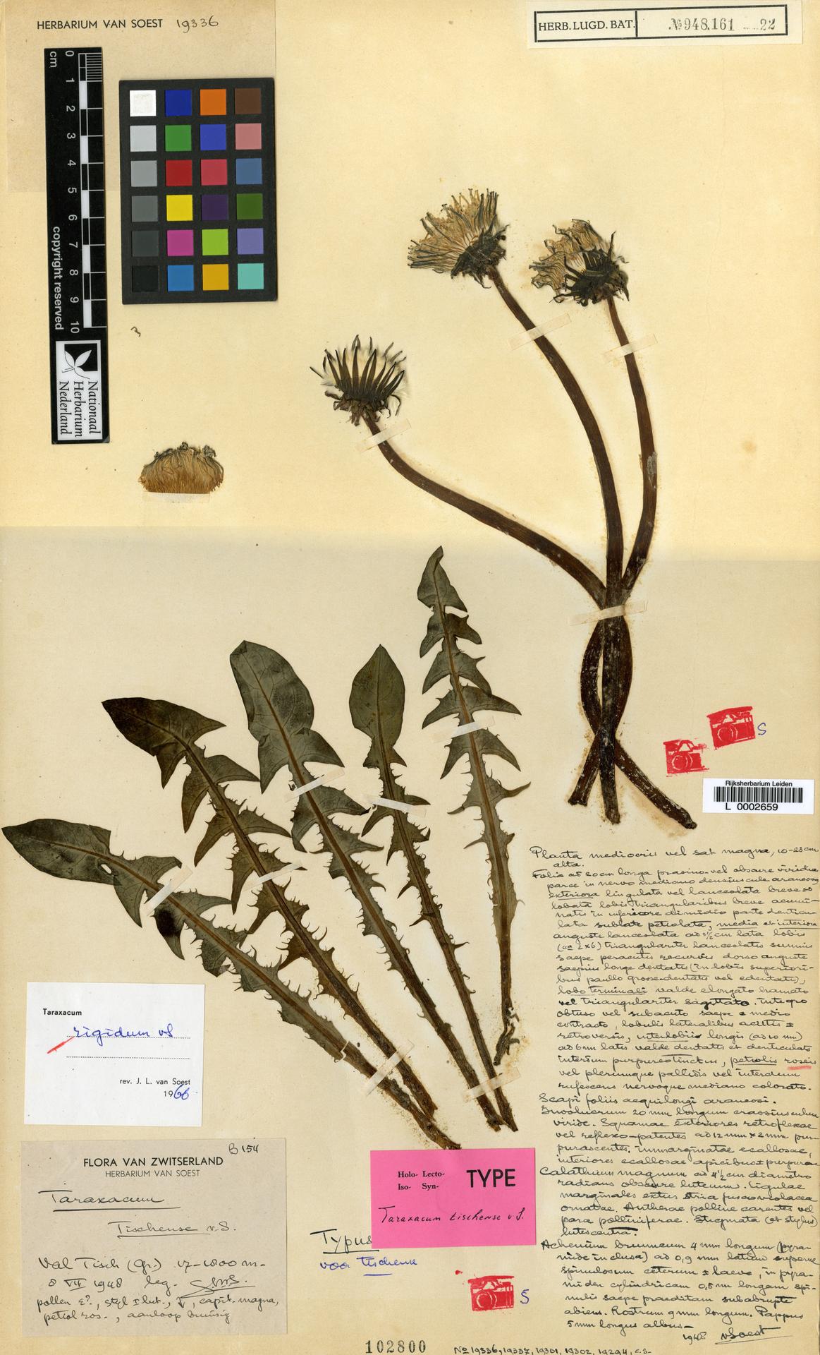 L  0002659 | Taraxacum rigidum Soest