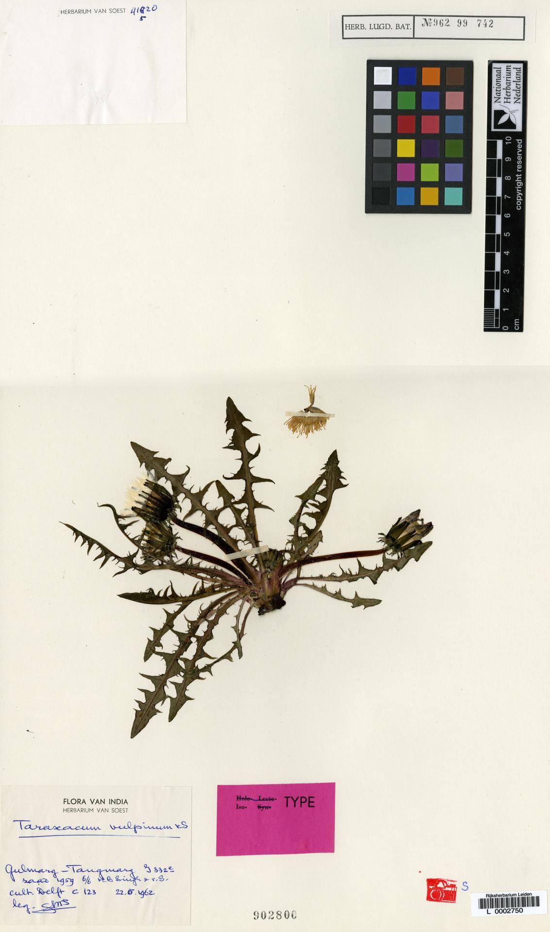 L  0002750 | Taraxacum vulpinum Soest