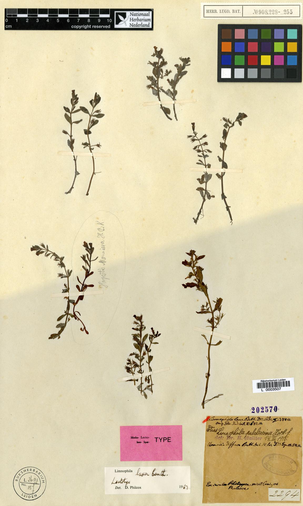 L  0003507   Limnophila laxa Benth.
