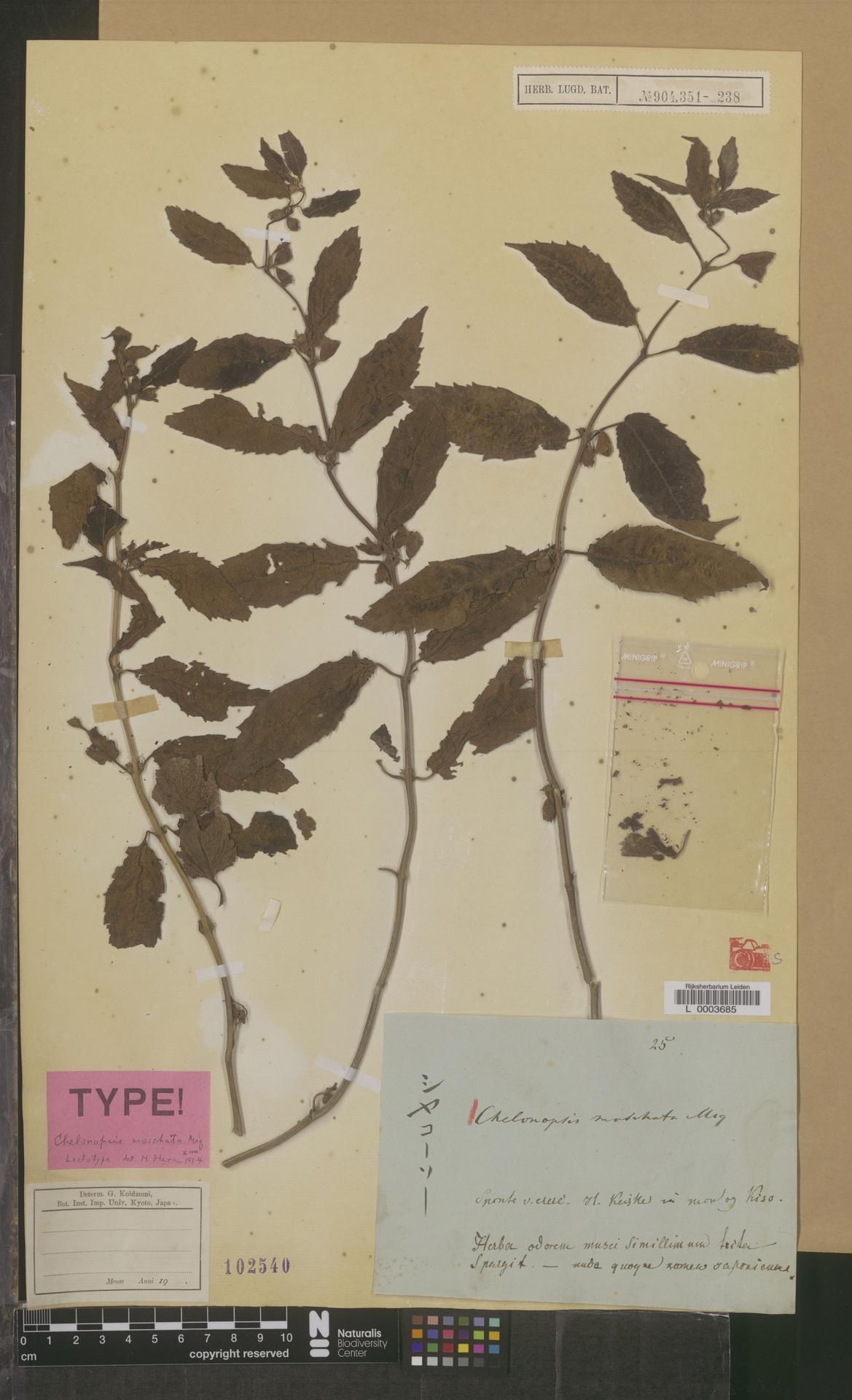 L  0003685 | Chelonopsis moschata Miq.