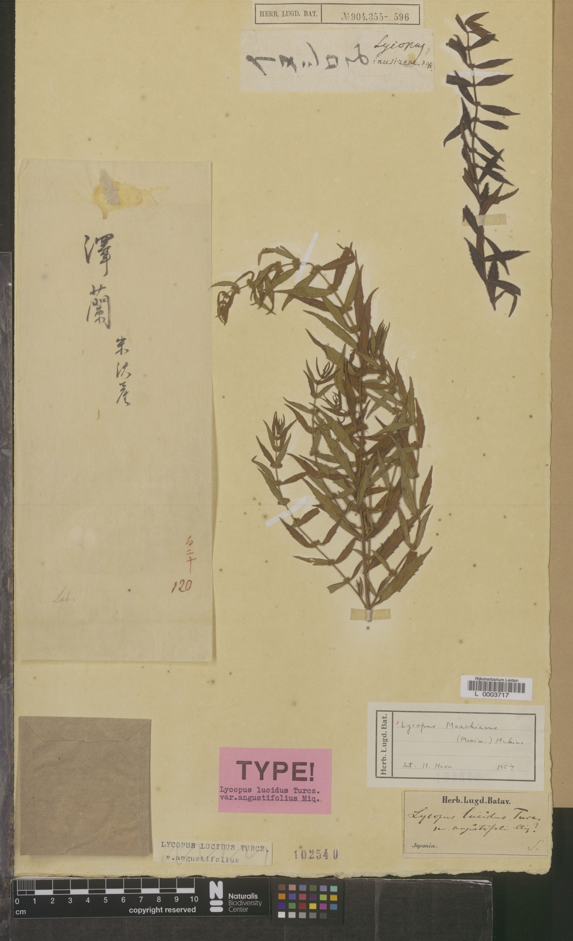 L  0003717 | Lycopus maackianus (Maxim.) Makino