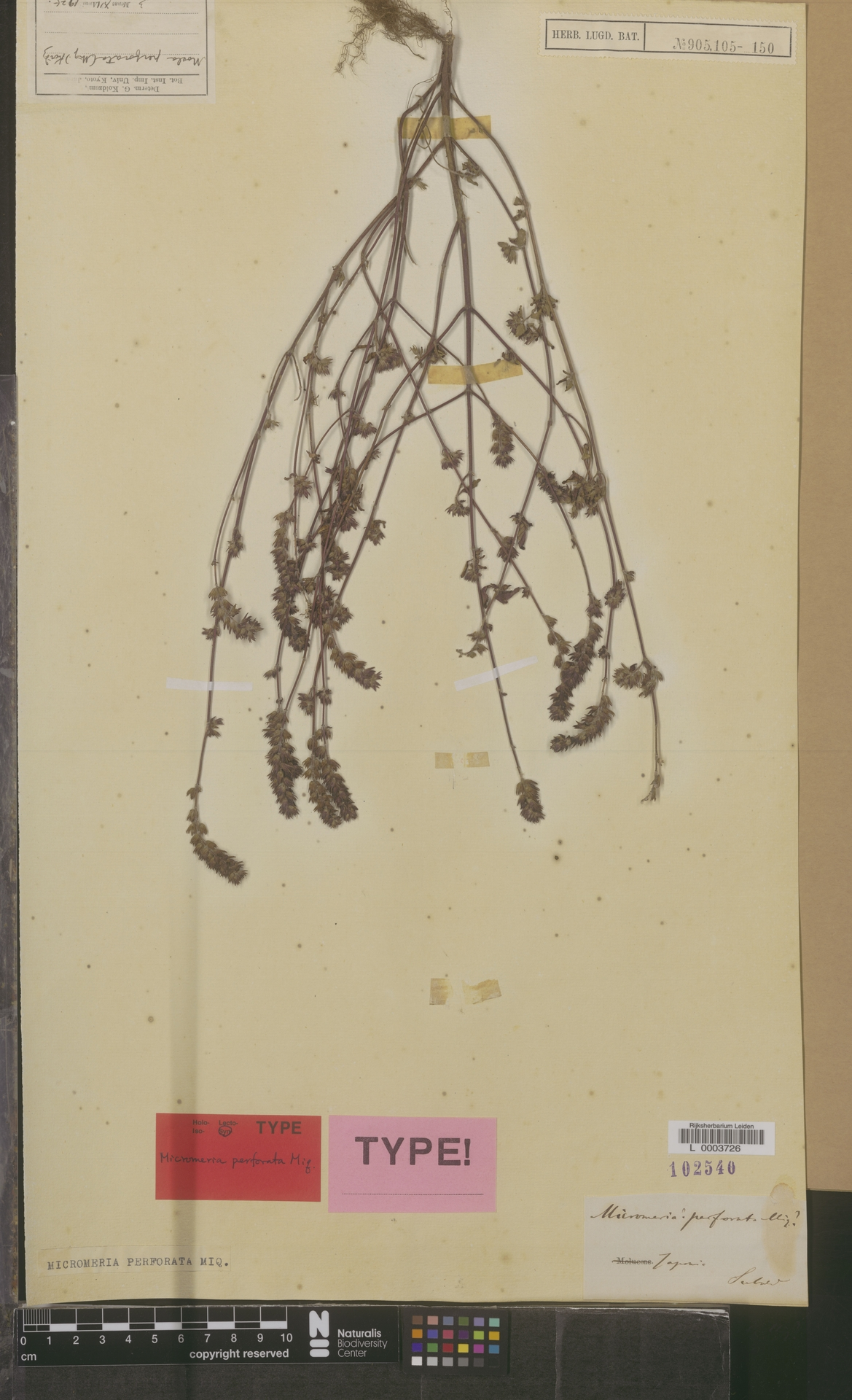 L  0003726 | Micromeria perforata Miq.
