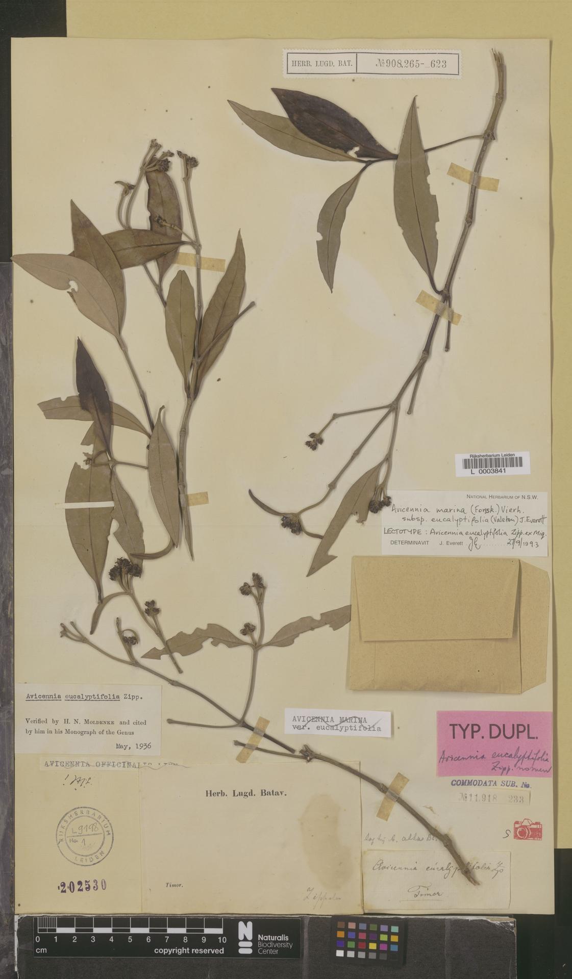 L  0003841   Avicennia marina subsp. eucalyptifolia (Valeton) J.Everett