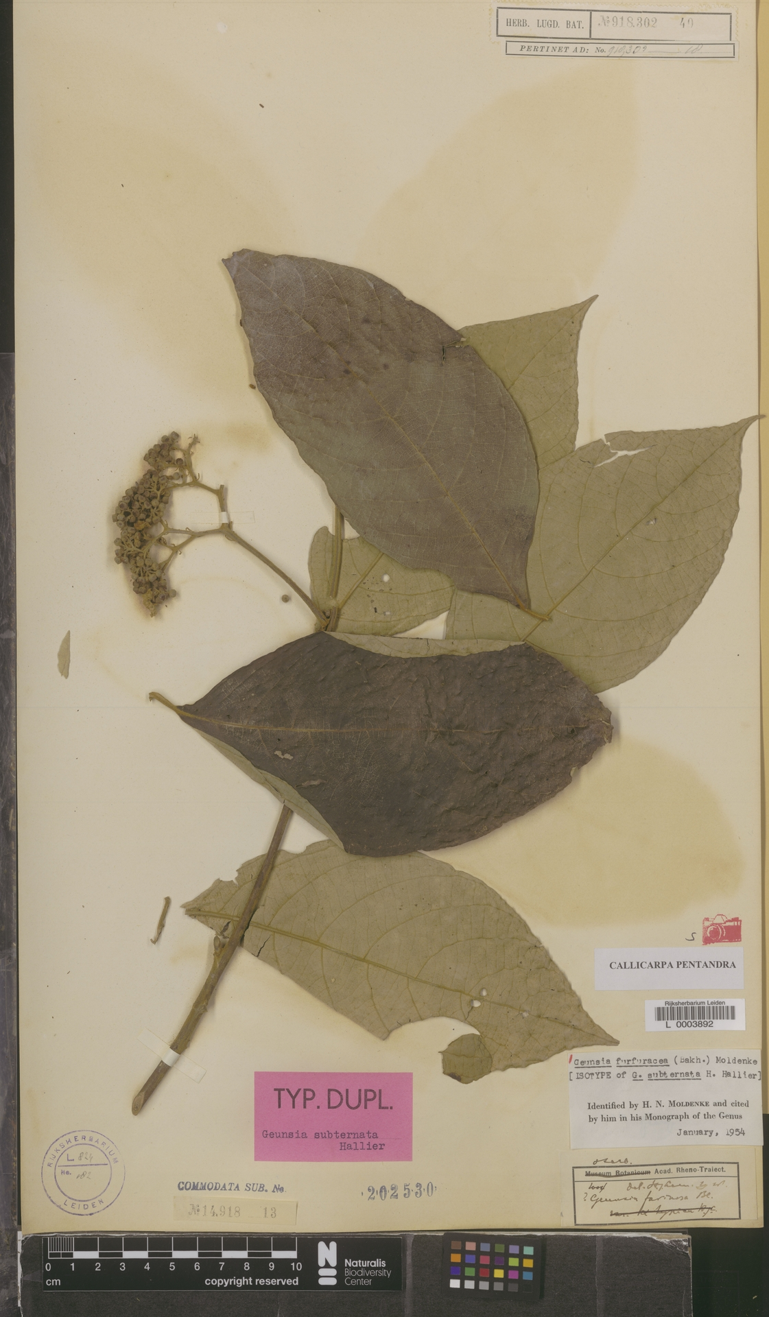 L  0003892 | Callicarpa pentandra Roxb.