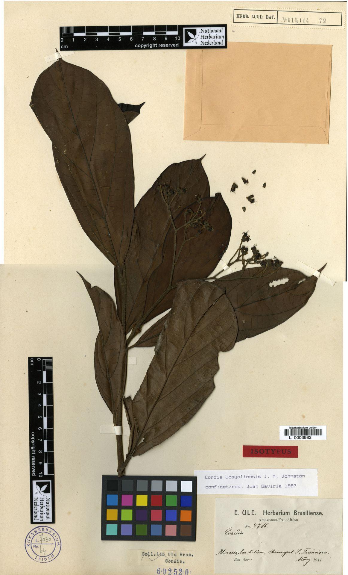 L  0003982 | Cordia ucayaliensis I.M.Johnst.