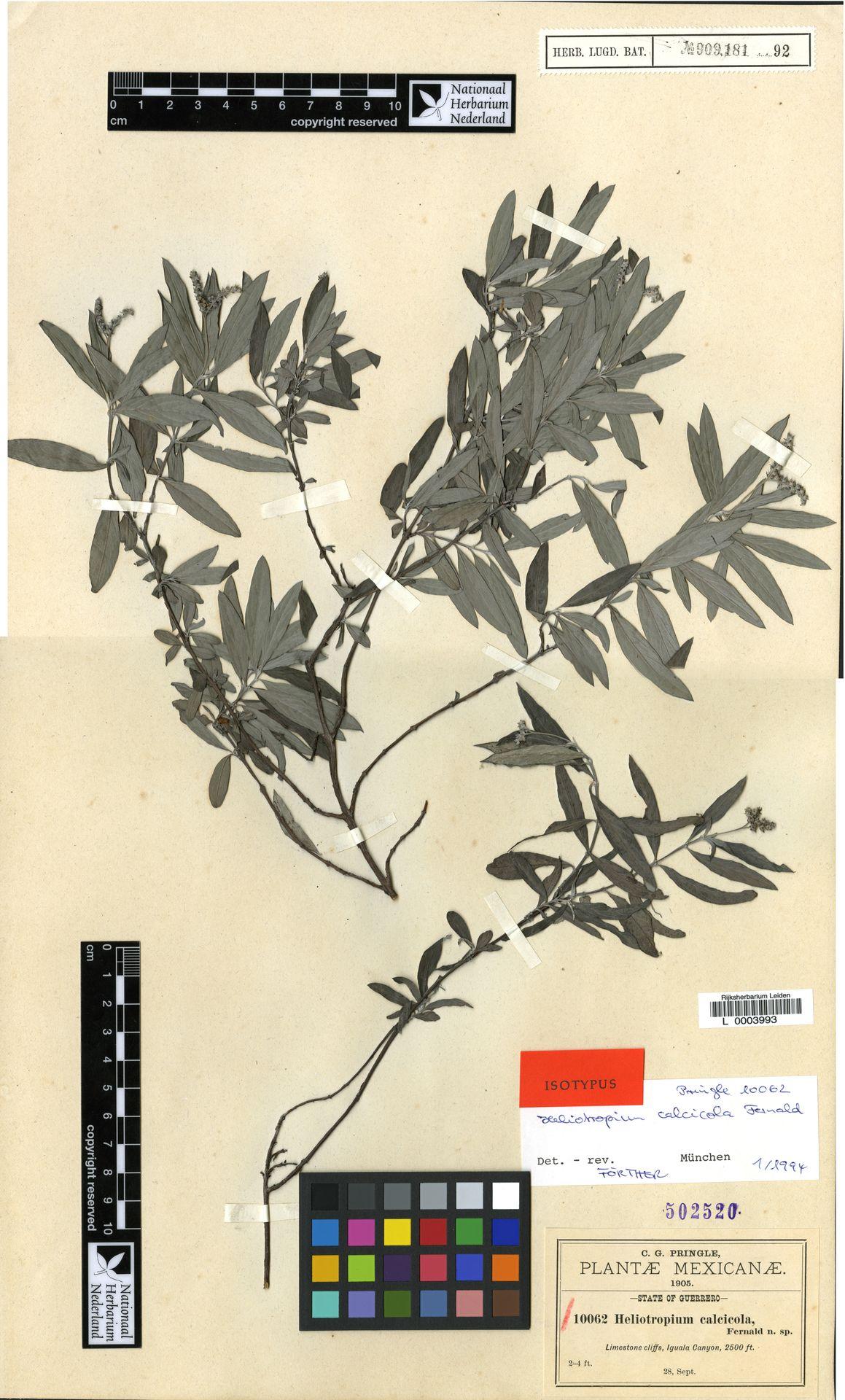 L  0003993 | Heliotropium calcicola Fernald