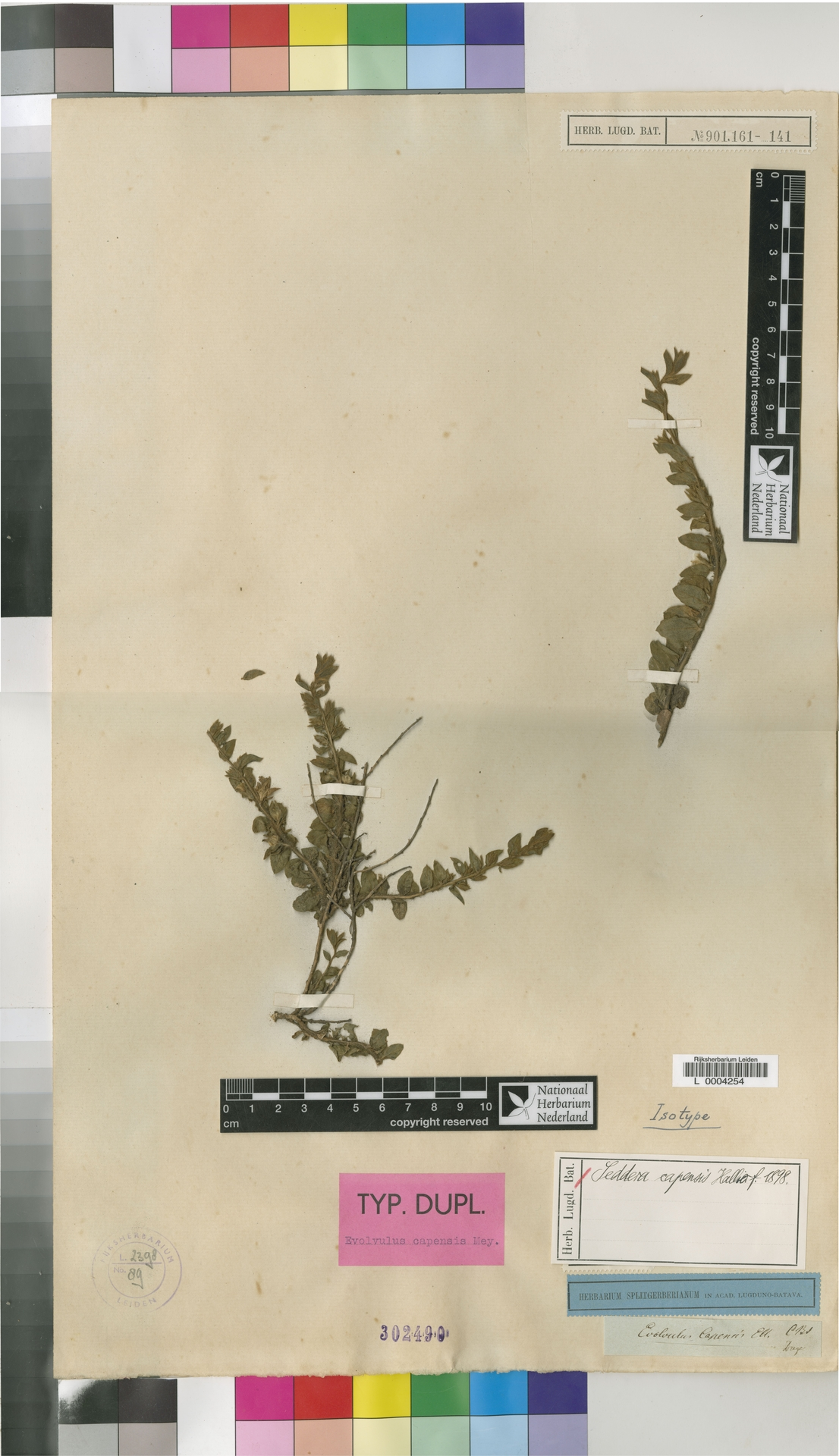 L  0004254 | Seddera capensis (E.Mey. ex Choisy) Hallier f.