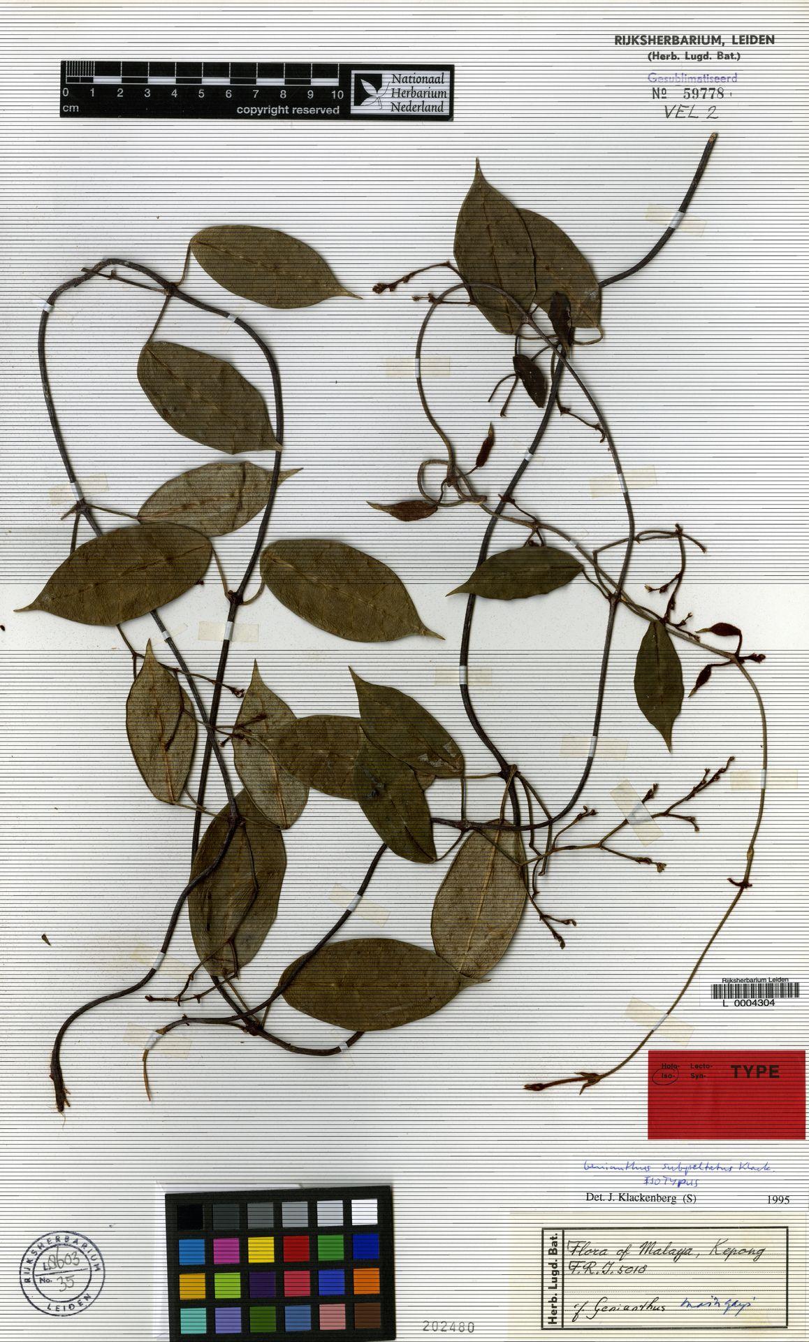 L  0004304   Genianthus subpeltatus Klack.