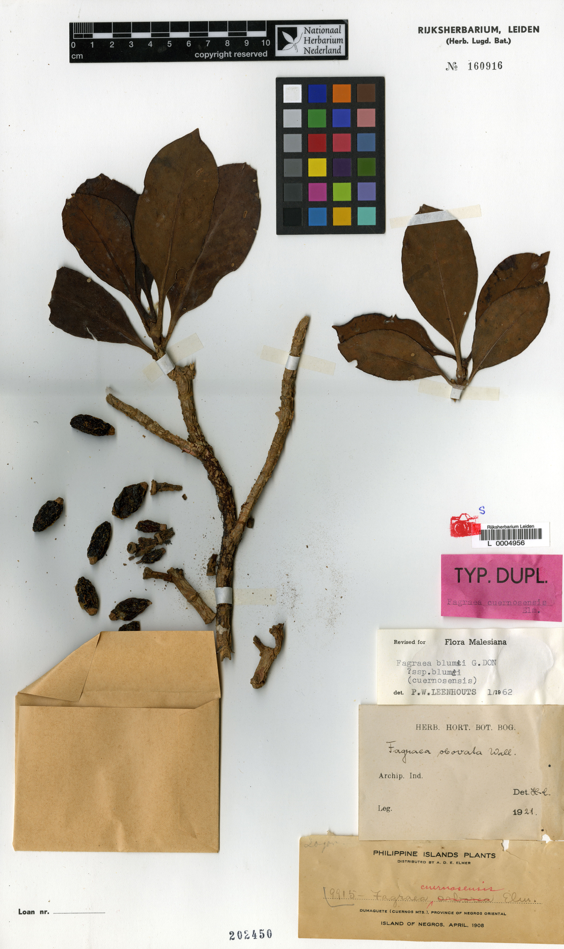 L  0004956 | Fagraea blumei subsp. blumei