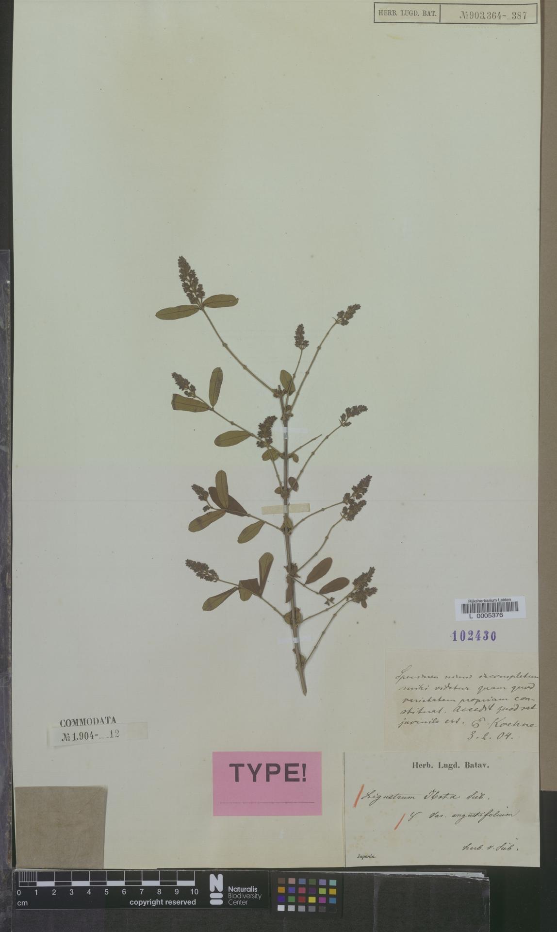 L  0005376 | Ligustrum ibota var. angustifolium