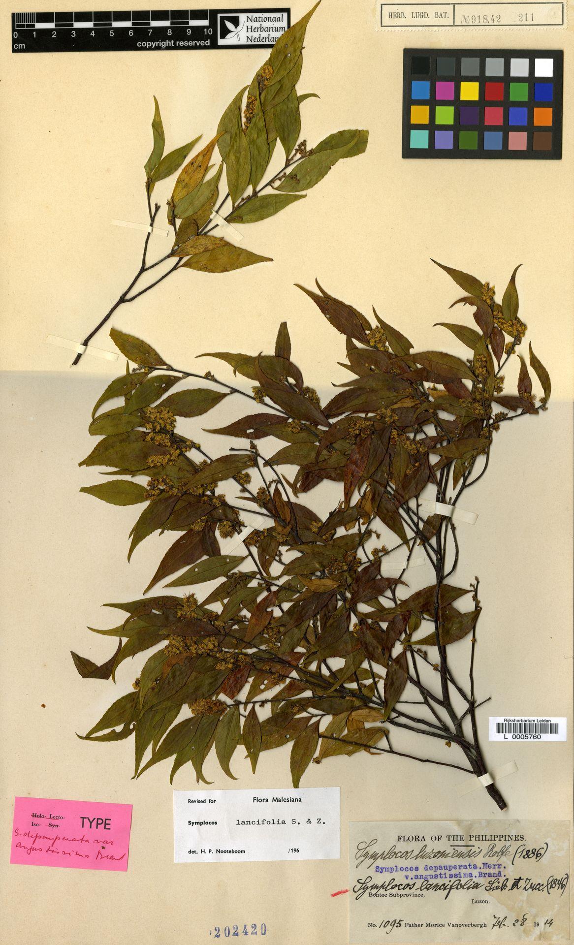 L  0005760 | Symplocos lancifolia Siebold & Zucc.