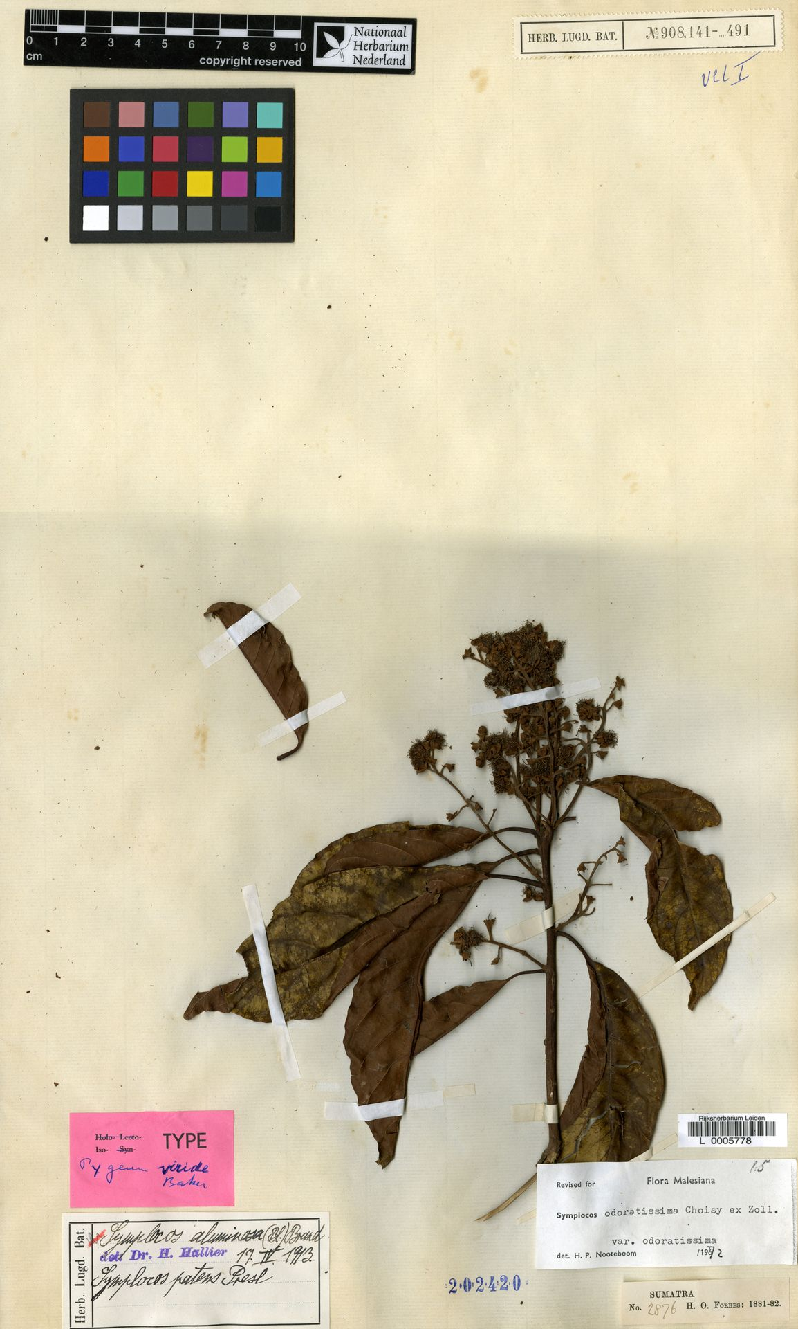 L  0005778 | Symplocos odoratissima var. odoratissima