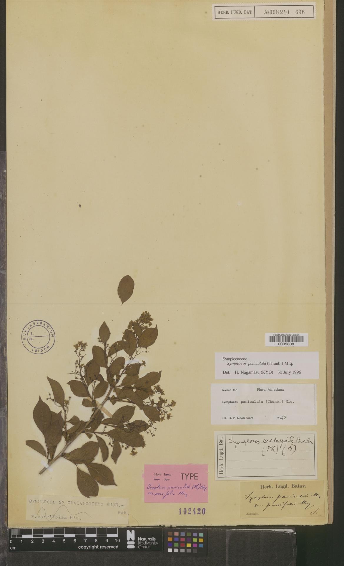 L  0005808 | Symplocos paniculata (Thunb.) Miq.