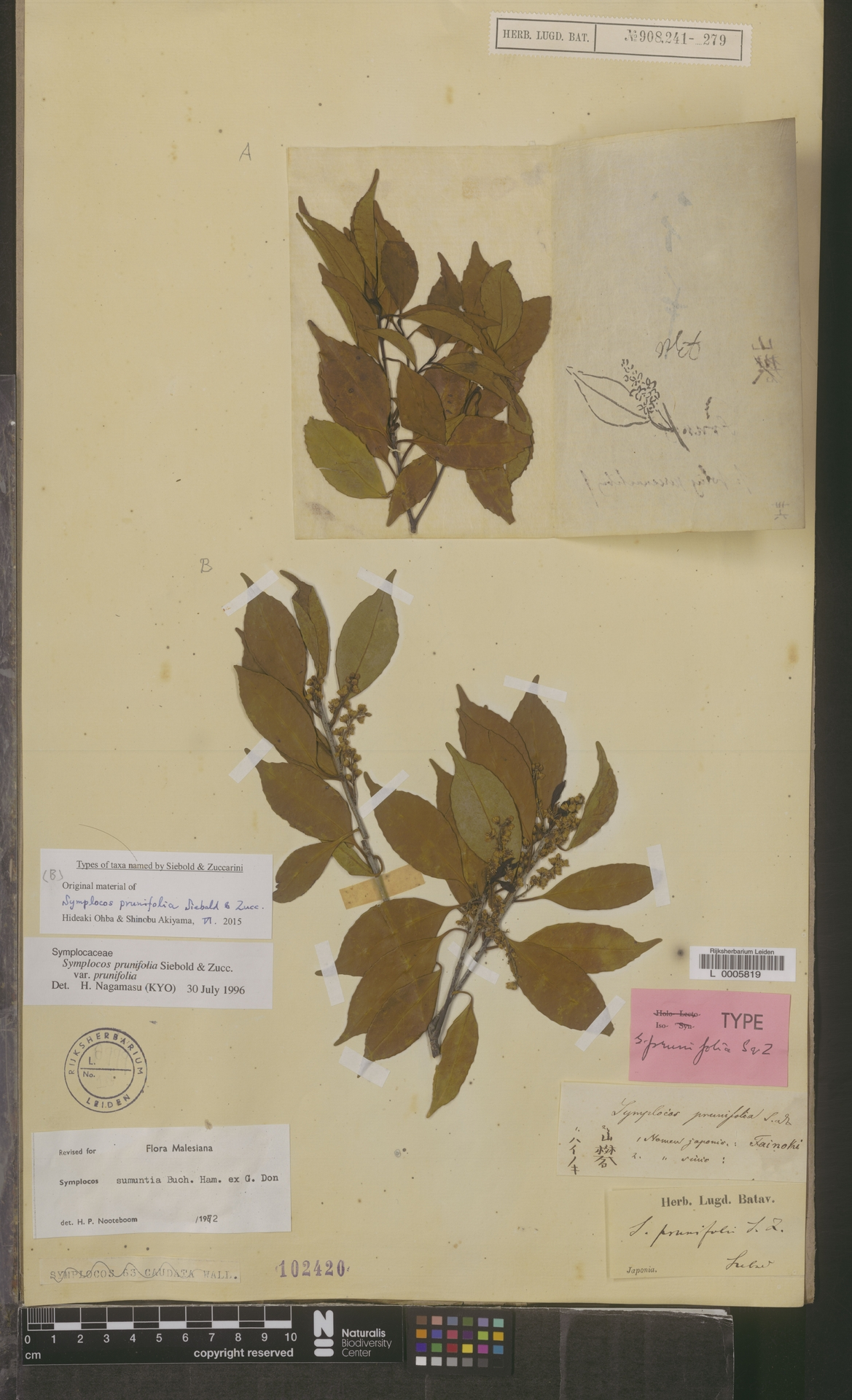 L  0005819   Symplocos prunifolia var. prunifolia
