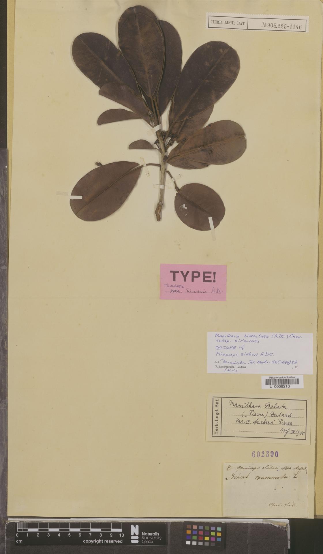 L  0006216 | Manilkara bidentata subsp. bidentata