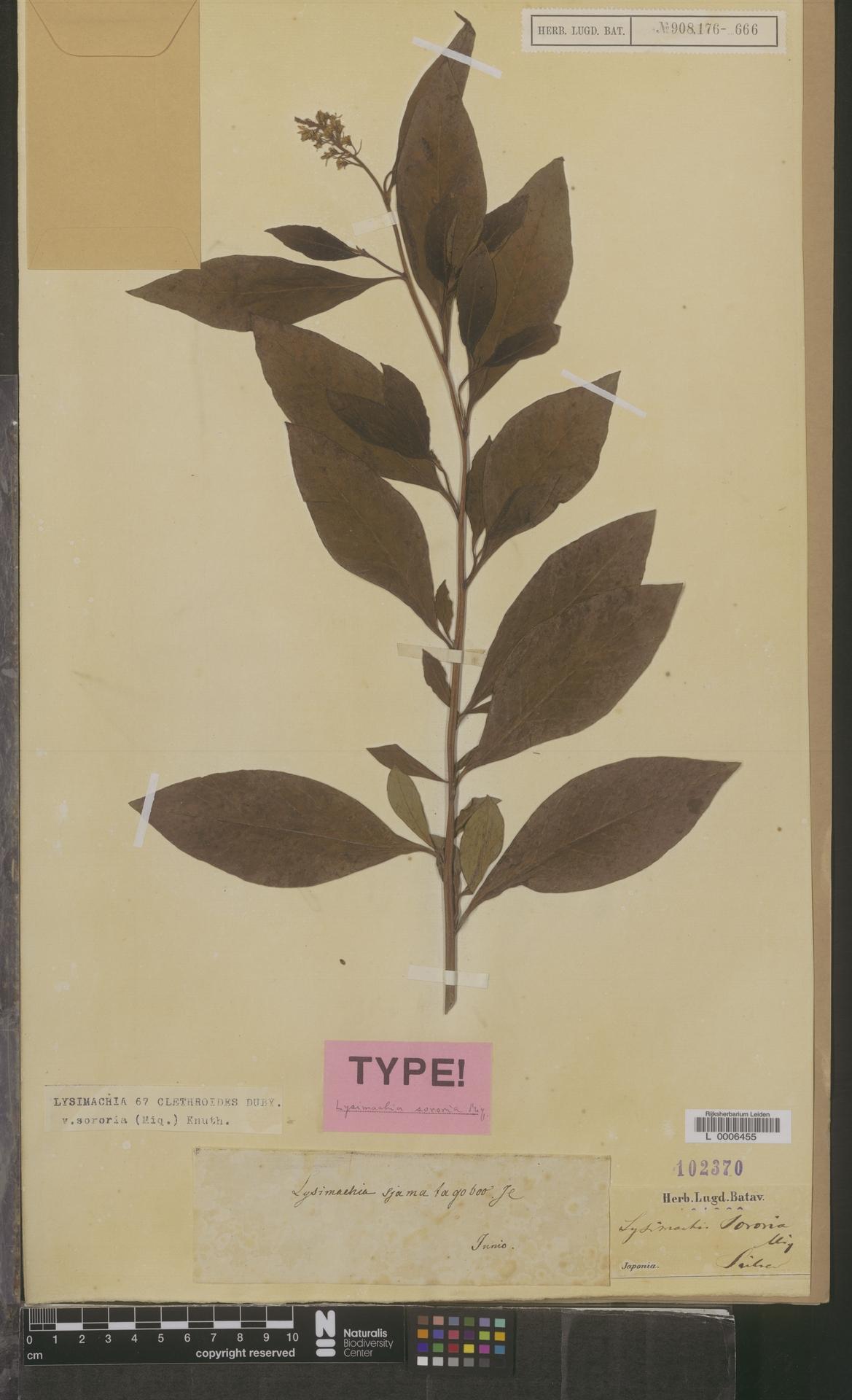 L  0006455 | Lysimachia clethroides var. sororia (Miq.) Knuth