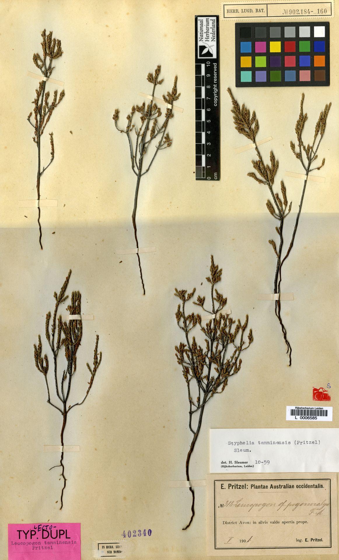 L  0006585 | Styphelia tamminensis (E.Pritz.) Sleumer