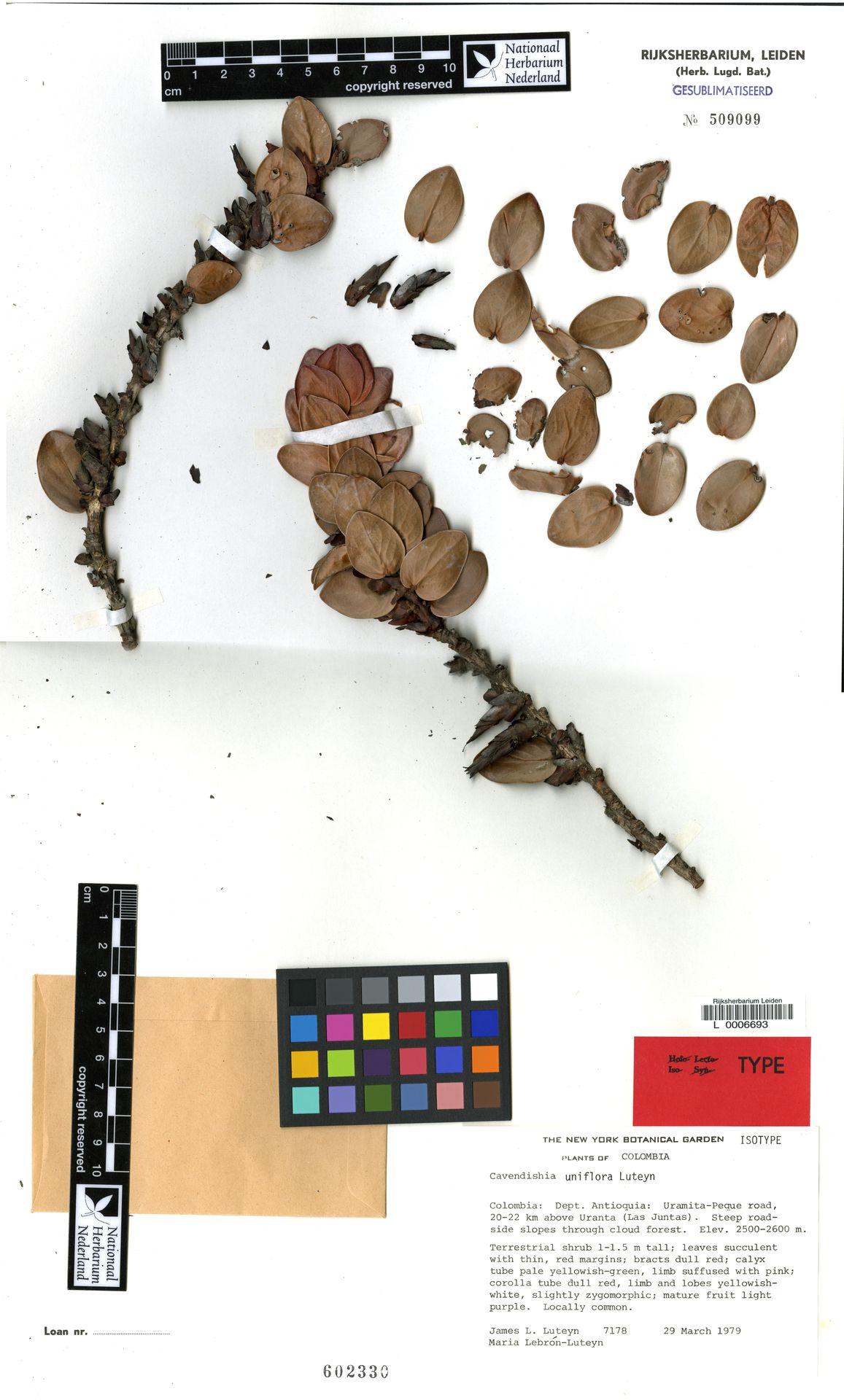 L  0006693 | Cavendishia uniflora Luteyn