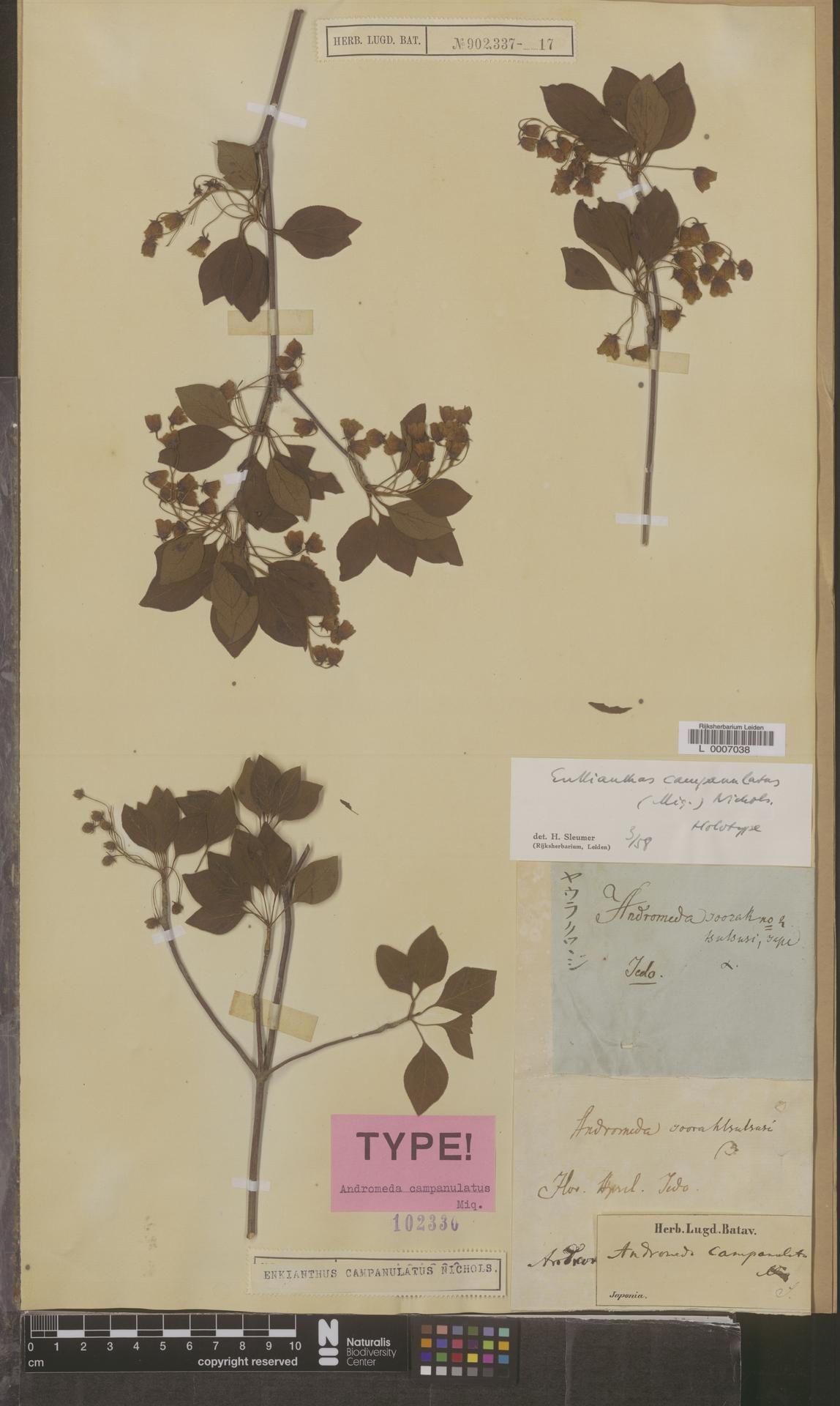 L  0007038   Enkianthus campanulatus (Miq.) Nichols
