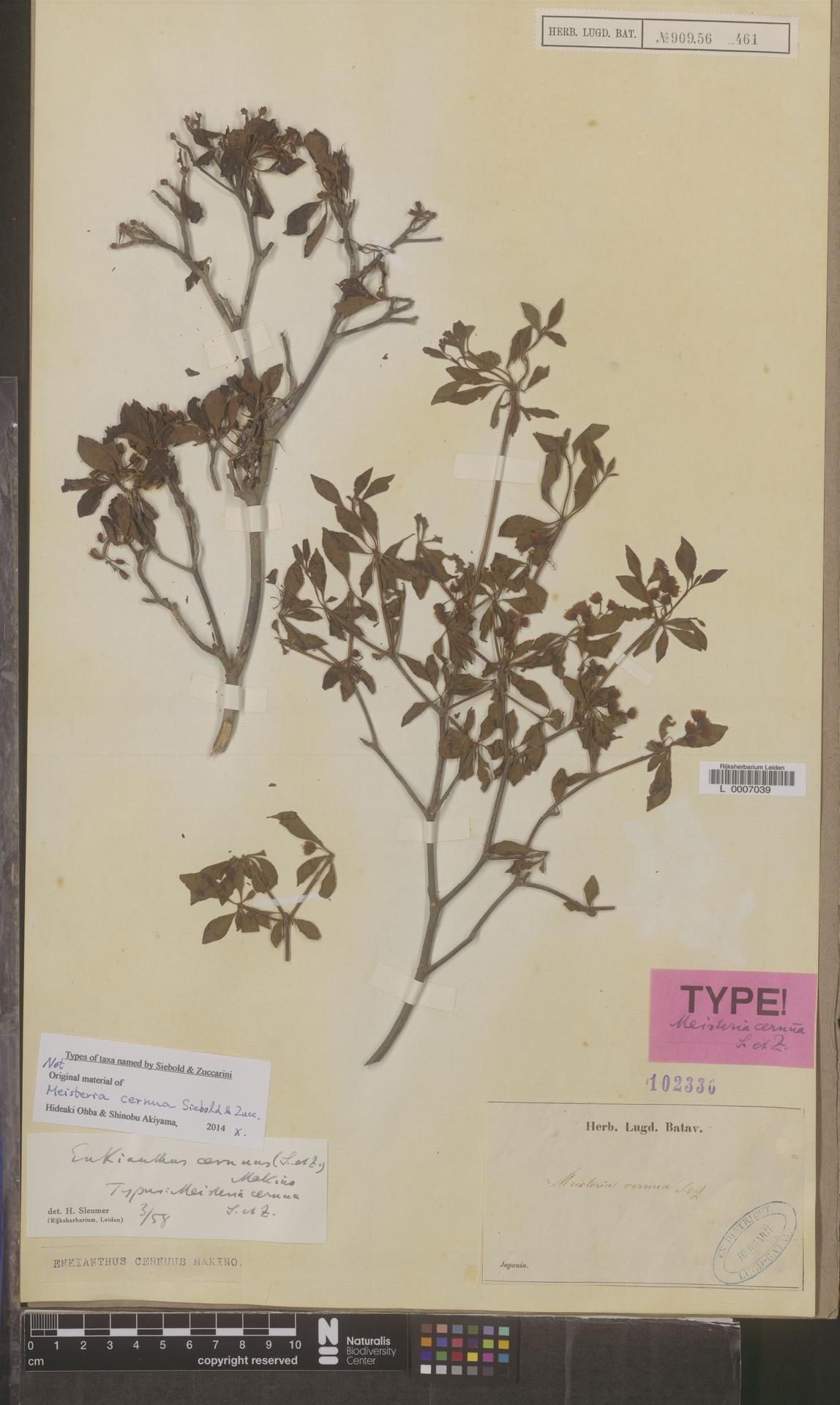 L  0007039 | Enkianthus cernuus (Siebold & Zucc.) Makino