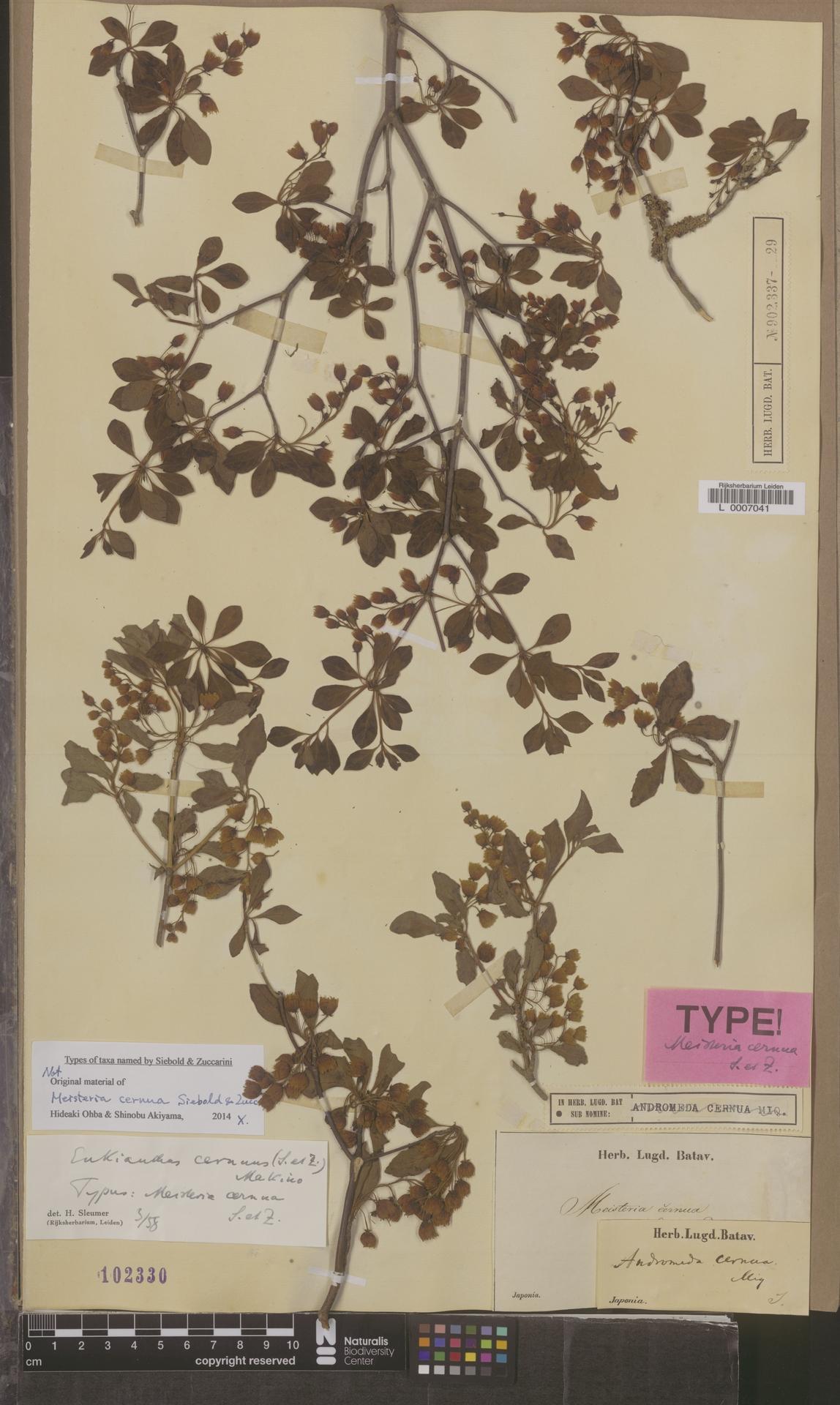 L  0007041 | Enkianthus cernuus (Siebold & Zucc.) Makino