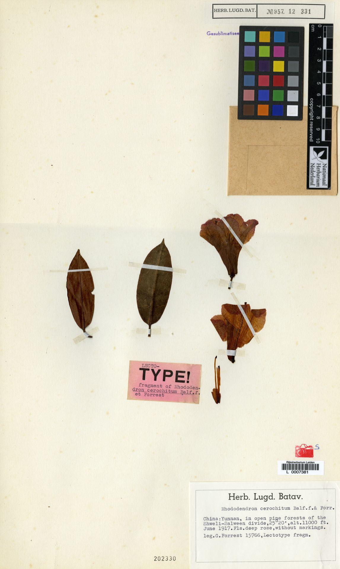 L  0007381 | Rhododendron cerochitum Balf.f. & Forrest