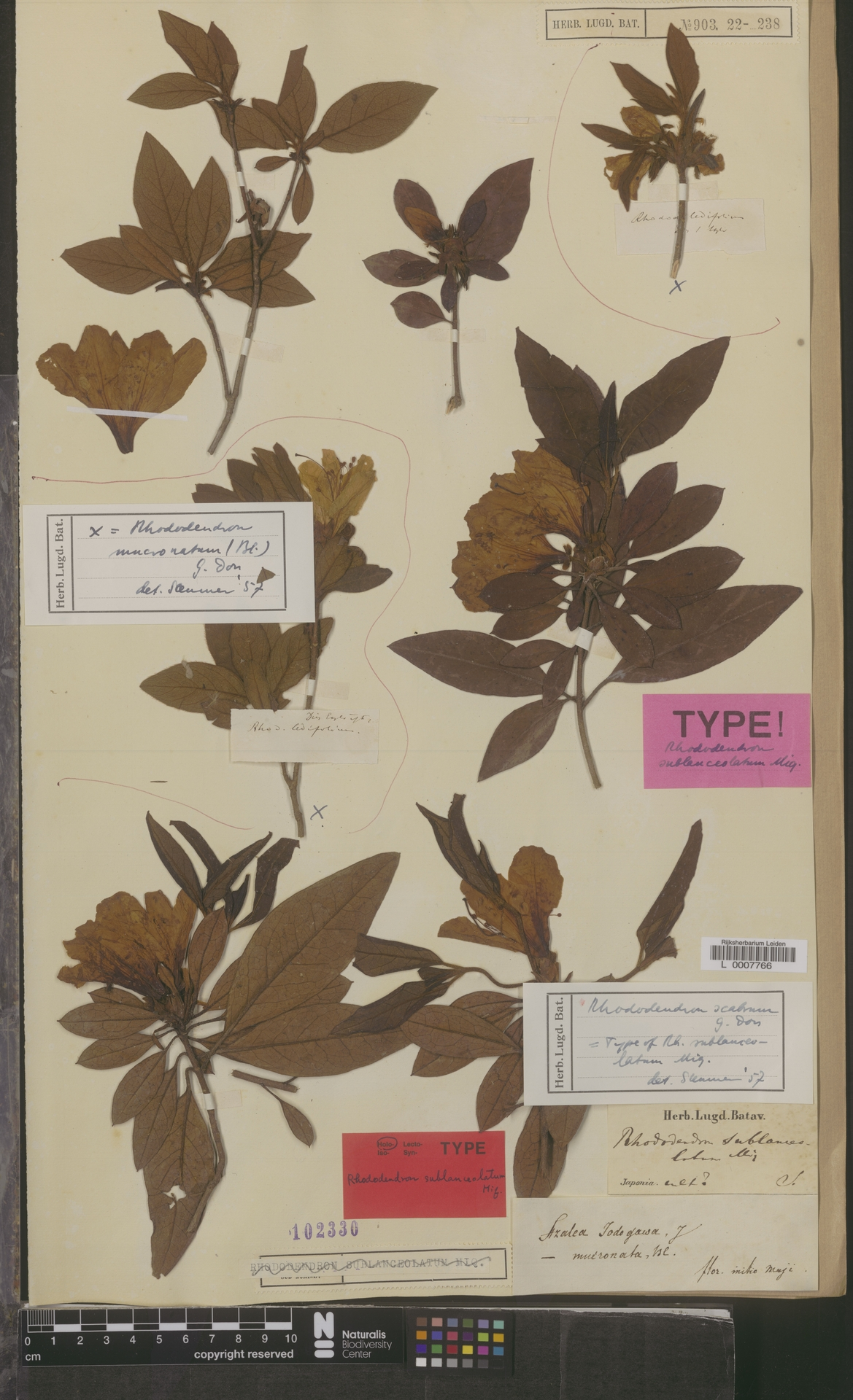 L  0007766 | Rhododendron scabrum G.Don