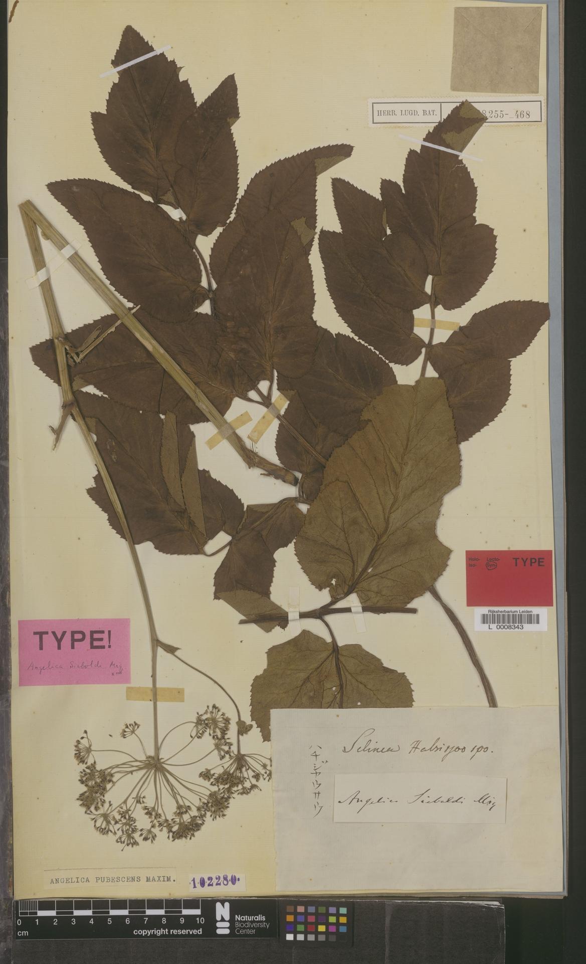L  0008343 | Angelica pubescens Maxim.