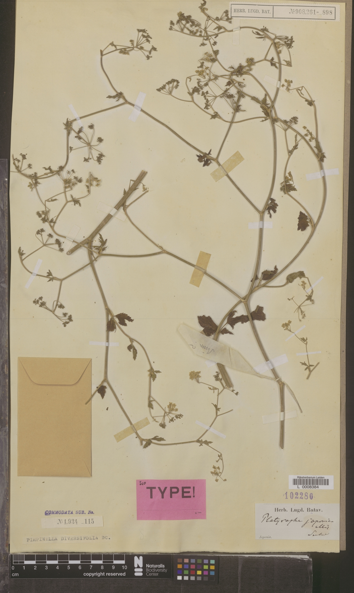 L  0008384 | Pimpinella diversifolia (Wall.) DC.