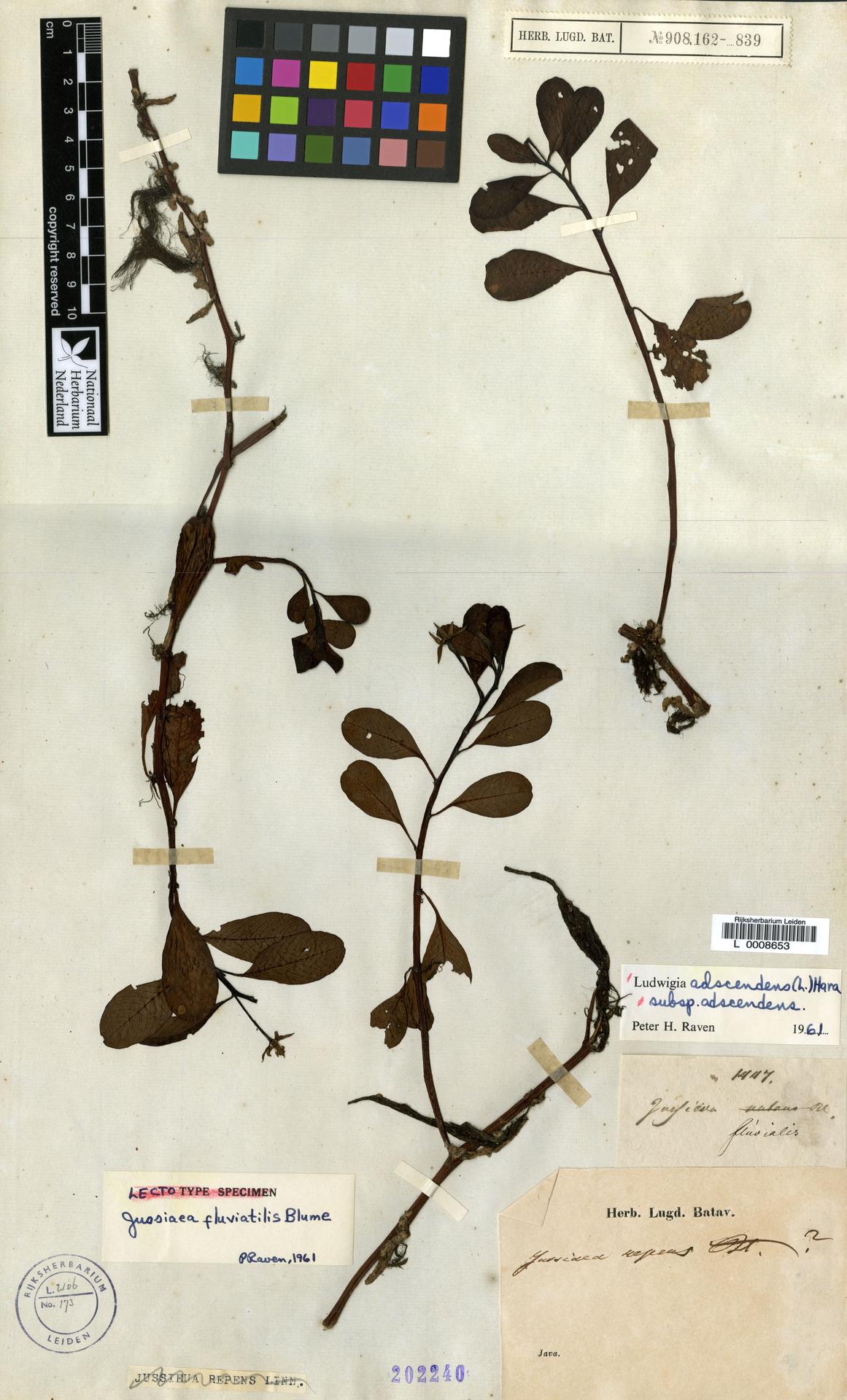 L  0008653 | Ludwigia adscendens subsp. adscendens