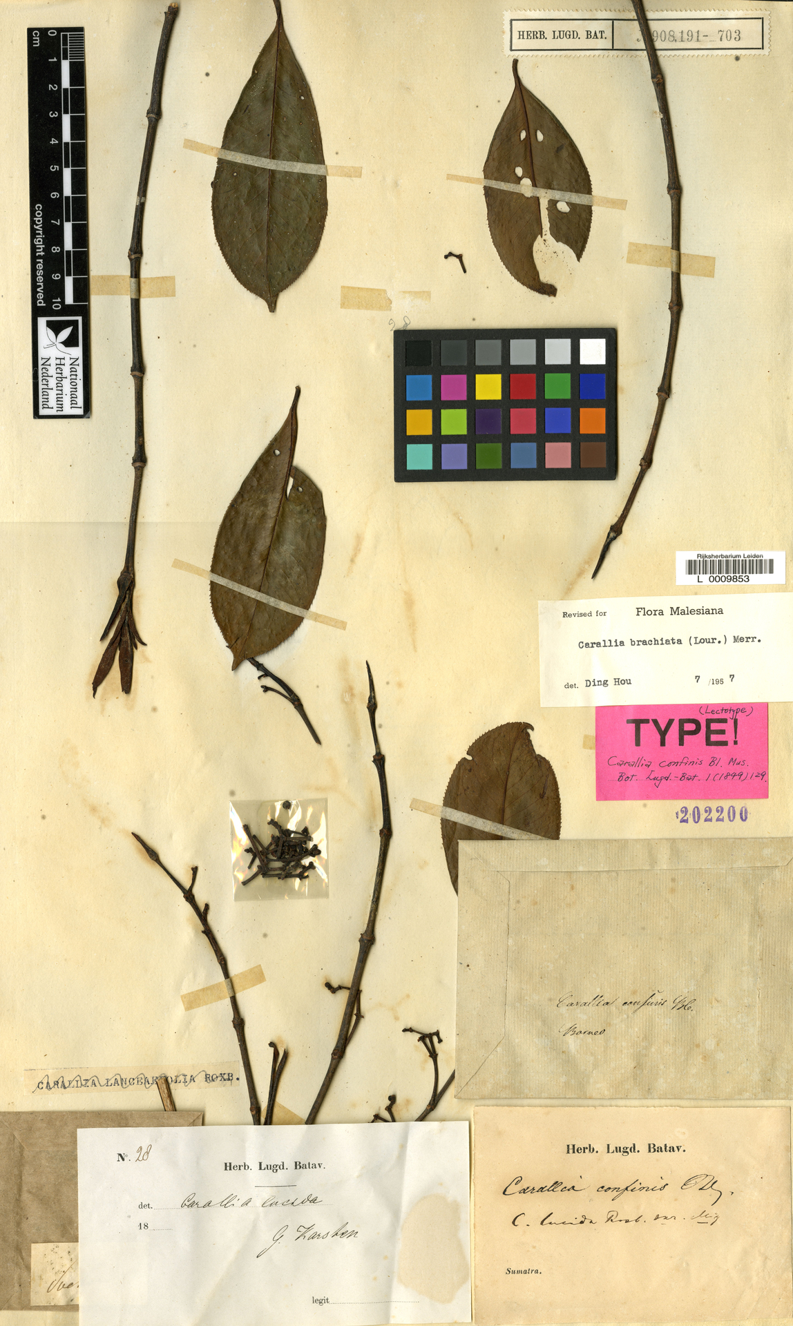 L  0009853 | Carallia brachiata (Lour.) Merr.