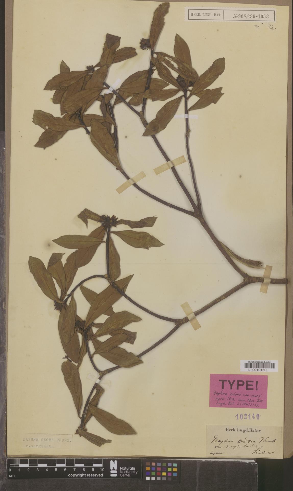 L  0010160 | Daphne odora var. marginata