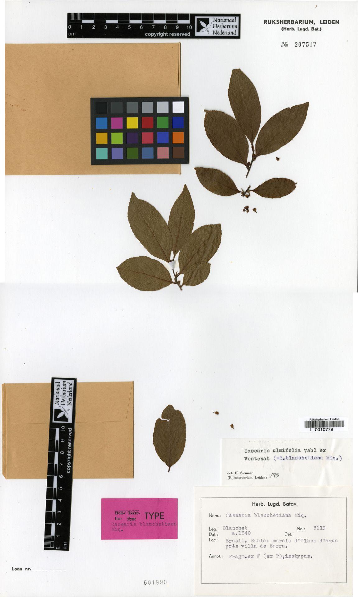 L  0010779 | Casearia ulmifolia Vahl ex Vent.