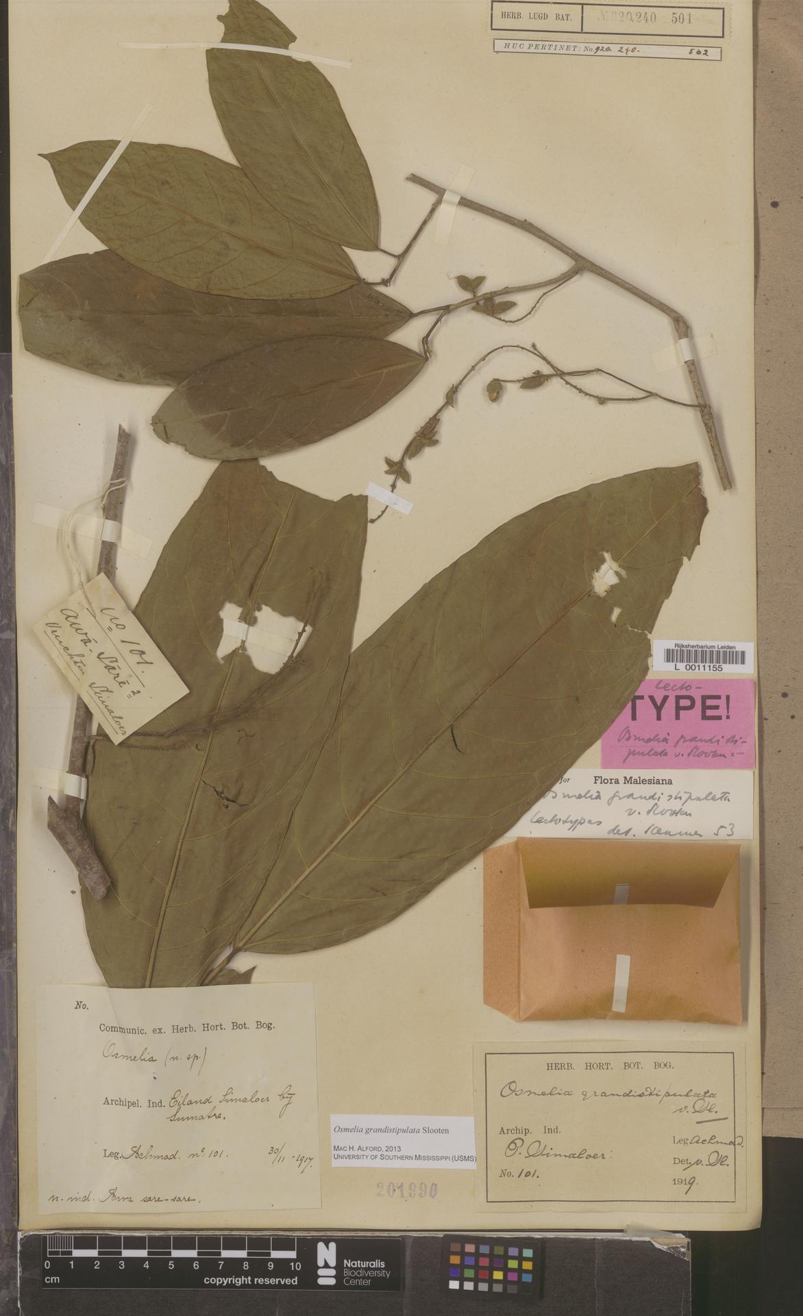 L  0011155 | Osmelia grandistipulata Slooten